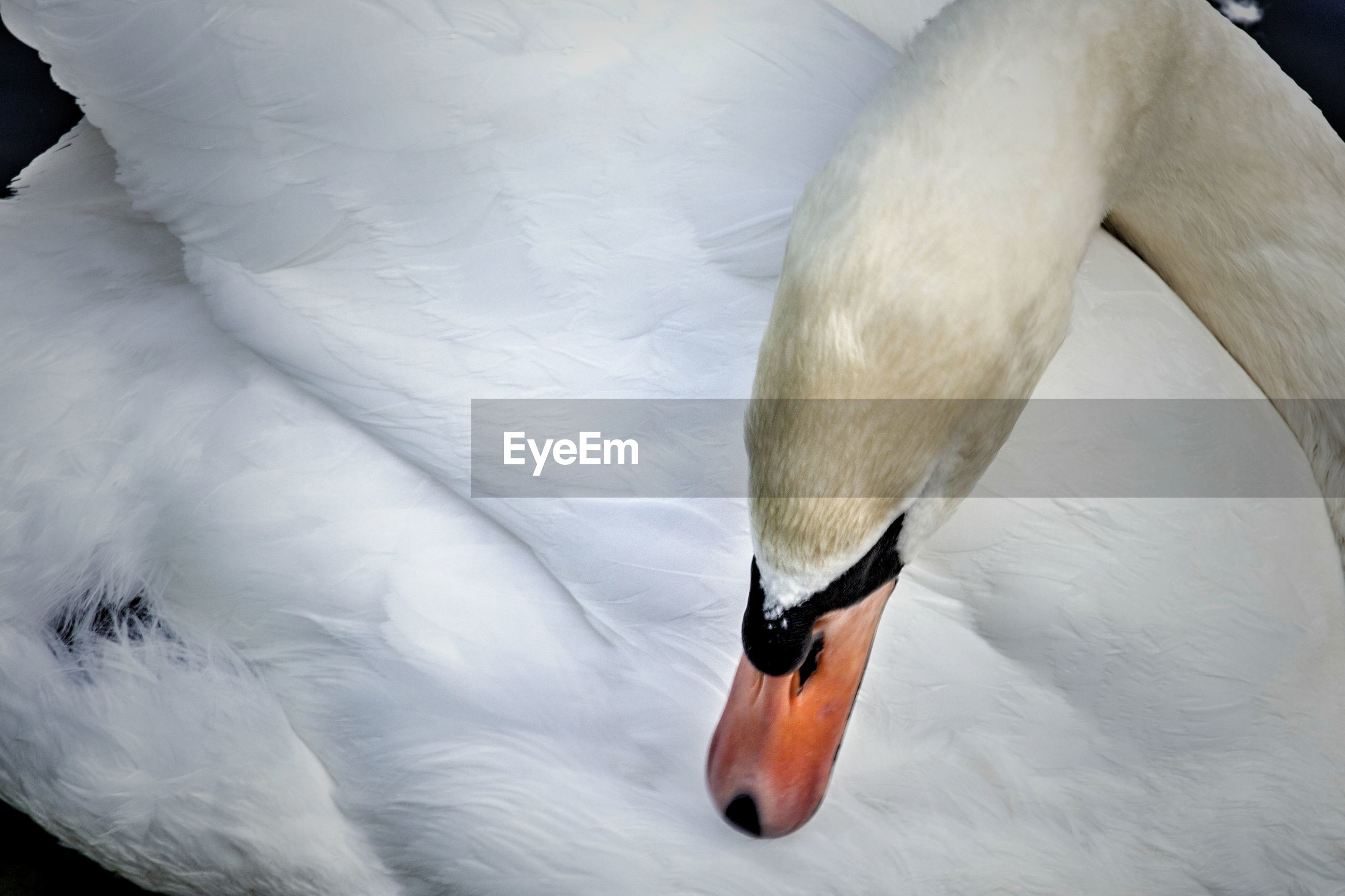 Close-up of swan swimming in water