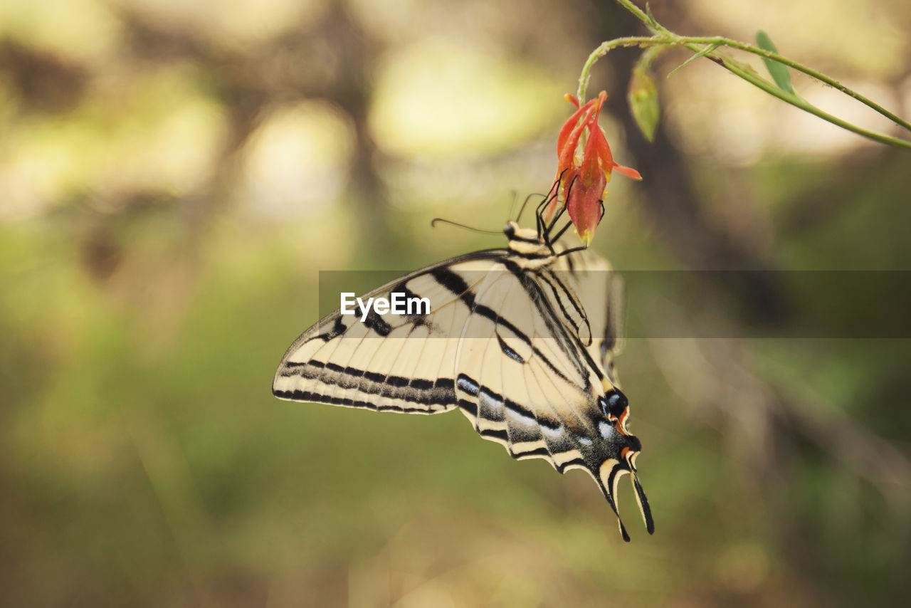 animal themes, animal wildlife, animal, animals in the wild, one animal, insect, animal wing, beauty in nature, invertebrate, focus on foreground, close-up, day, plant, butterfly - insect, flower, no people, flowering plant, nature, fragility, vulnerability, flower head, pollination, butterfly