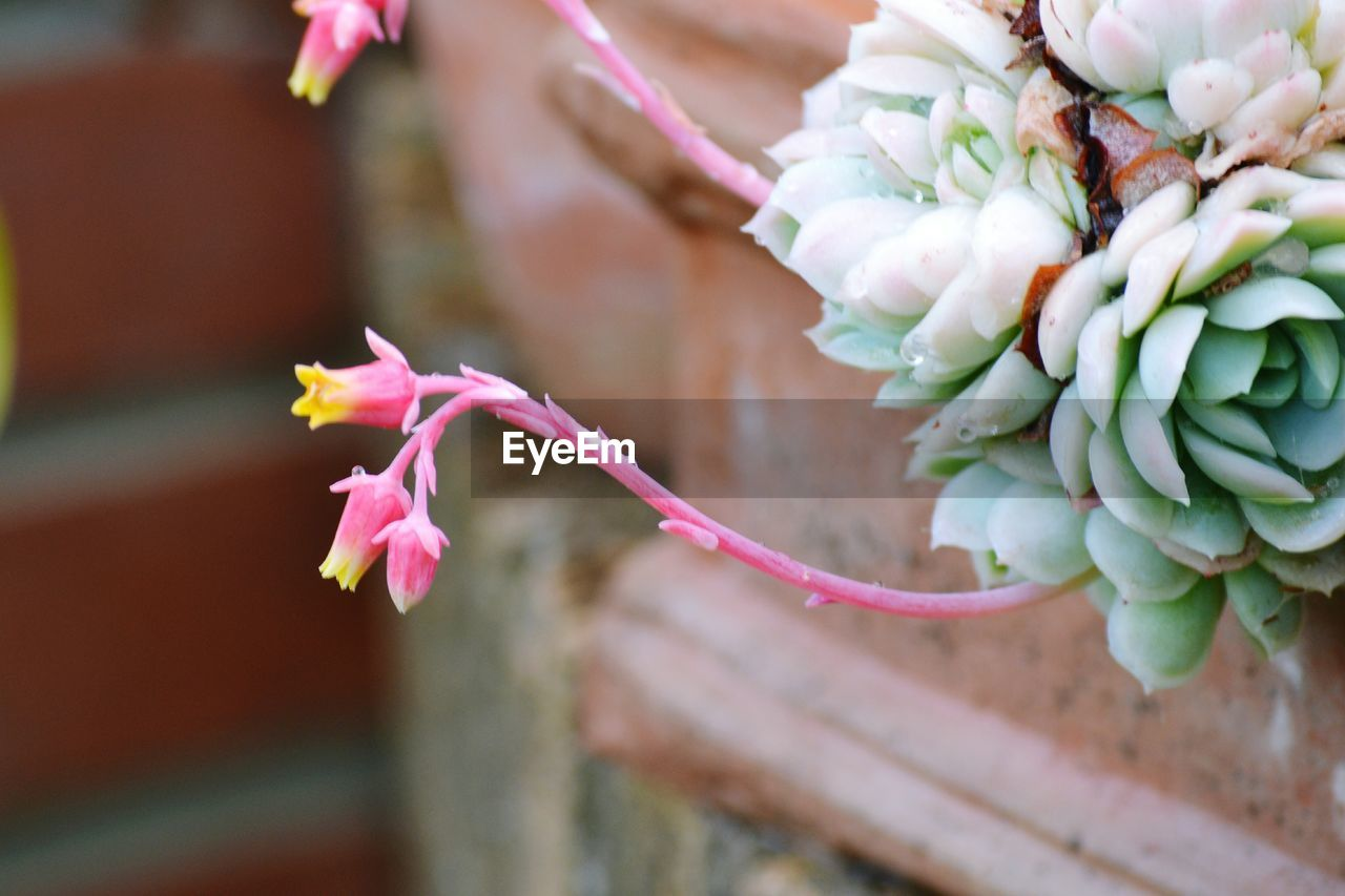 flower, flowering plant, plant, freshness, close-up, beauty in nature, pink color, focus on foreground, growth, day, petal, no people, vulnerability, fragility, nature, inflorescence, flower head, selective focus, outdoors, bud
