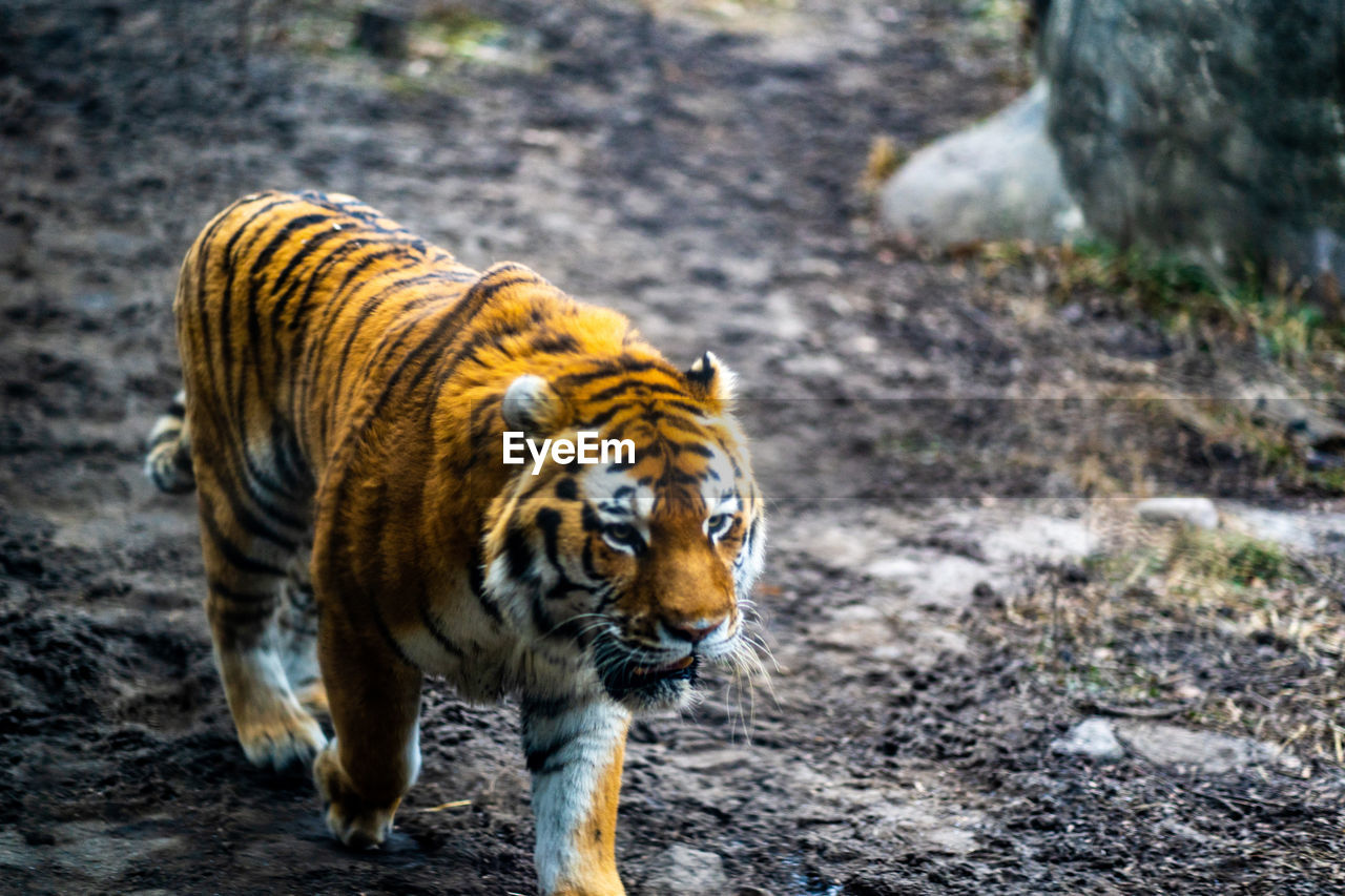 animal themes, mammal, animal, one animal, animal wildlife, tiger, feline, animals in the wild, big cat, cat, walking, no people, day, nature, land, forest, striped, focus on foreground, outdoors