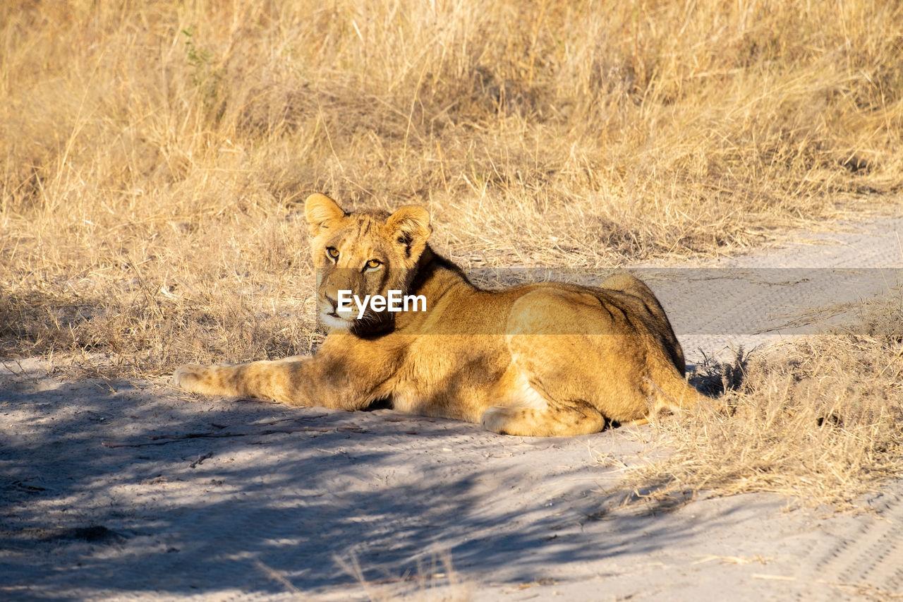 CAT LYING DOWN IN A DESERT