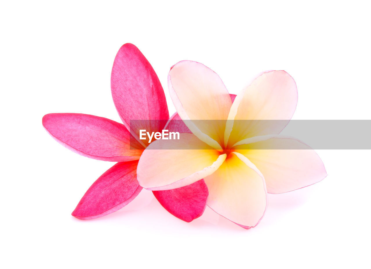 white background, vulnerability, close-up, studio shot, fragility, inflorescence, petal, flower head, flowering plant, flower, freshness, beauty in nature, pink color, plant, cut out, no people, indoors, copy space, frangipani