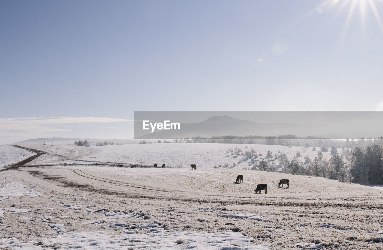 Cows On Snow Covered Field Against Sky
