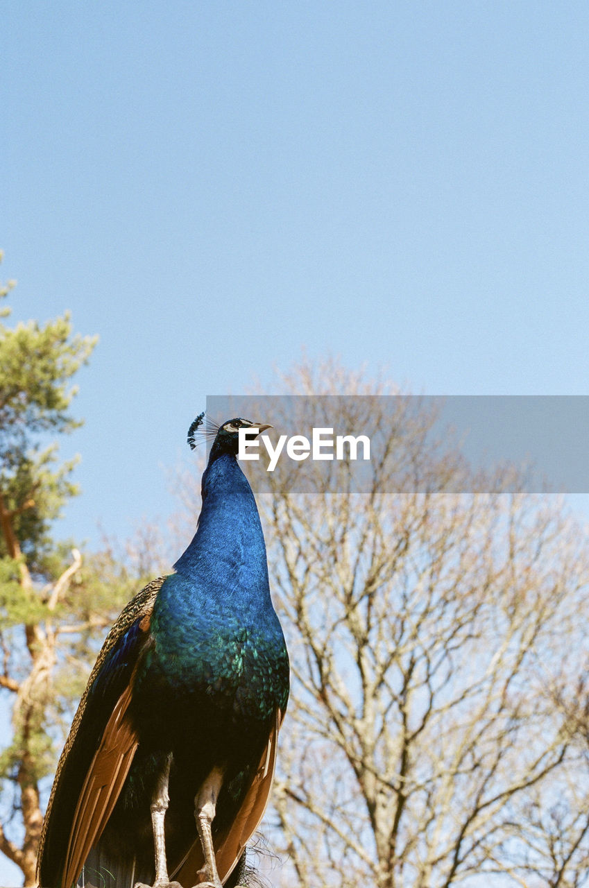 bird, animal themes, sky, animal wildlife, one animal, animal, vertebrate, animals in the wild, clear sky, tree, nature, blue, peacock, day, no people, plant, copy space, low angle view, bare tree, beauty in nature, outdoors