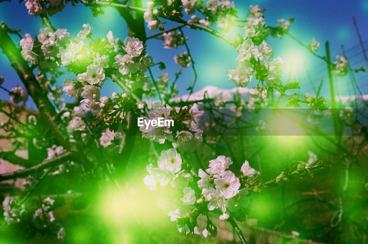 flower, flowering plant, plant, beauty in nature, freshness, growth, vulnerability, fragility, nature, sunlight, selective focus, no people, close-up, day, tree, petal, blossom, sky, plant part, sunbeam, outdoors, springtime, flower head, spring, cherry blossom