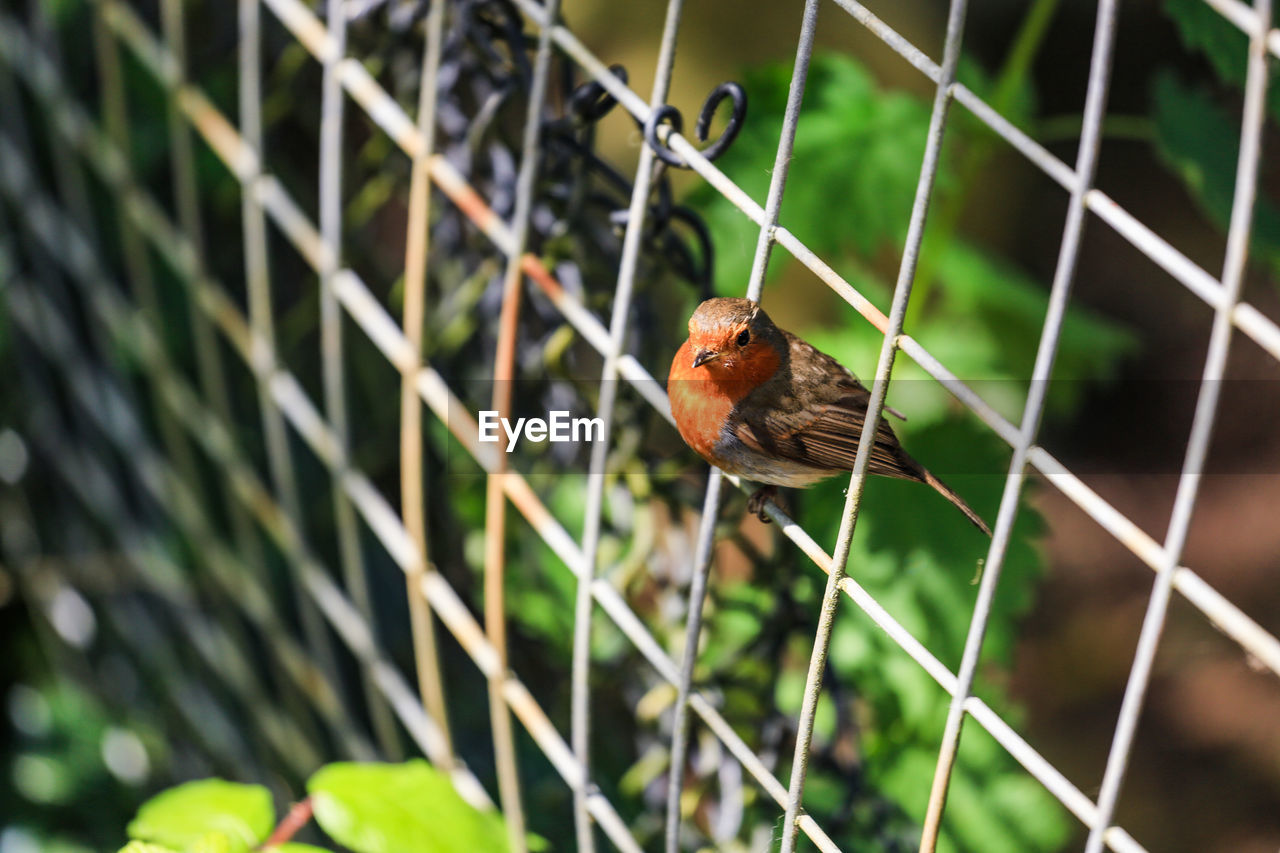 Robin Perching On Fence