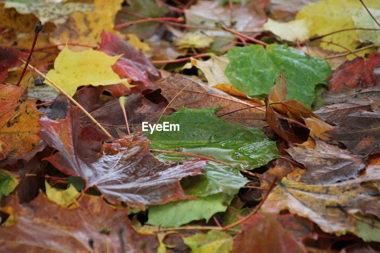 leaf, plant part, autumn, change, leaves, dry, close-up, day, nature, no people, beauty in nature, selective focus, falling, vulnerability, outdoors, plant, fragility, green color, leaf vein, maple leaf, fall, natural condition