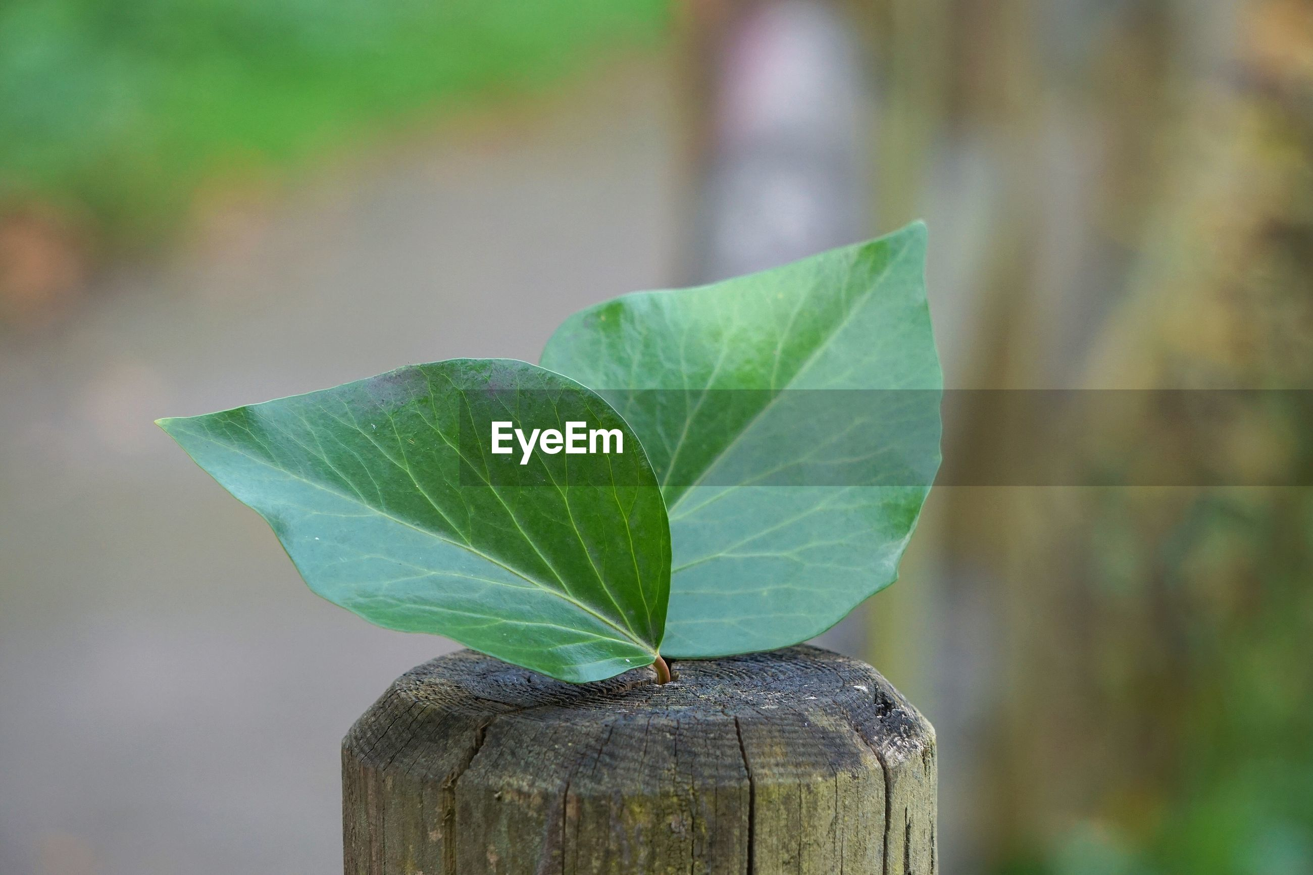 Close-up of leaves on wooden post