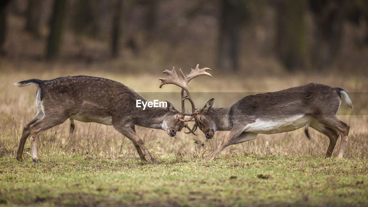 Deer in a fight