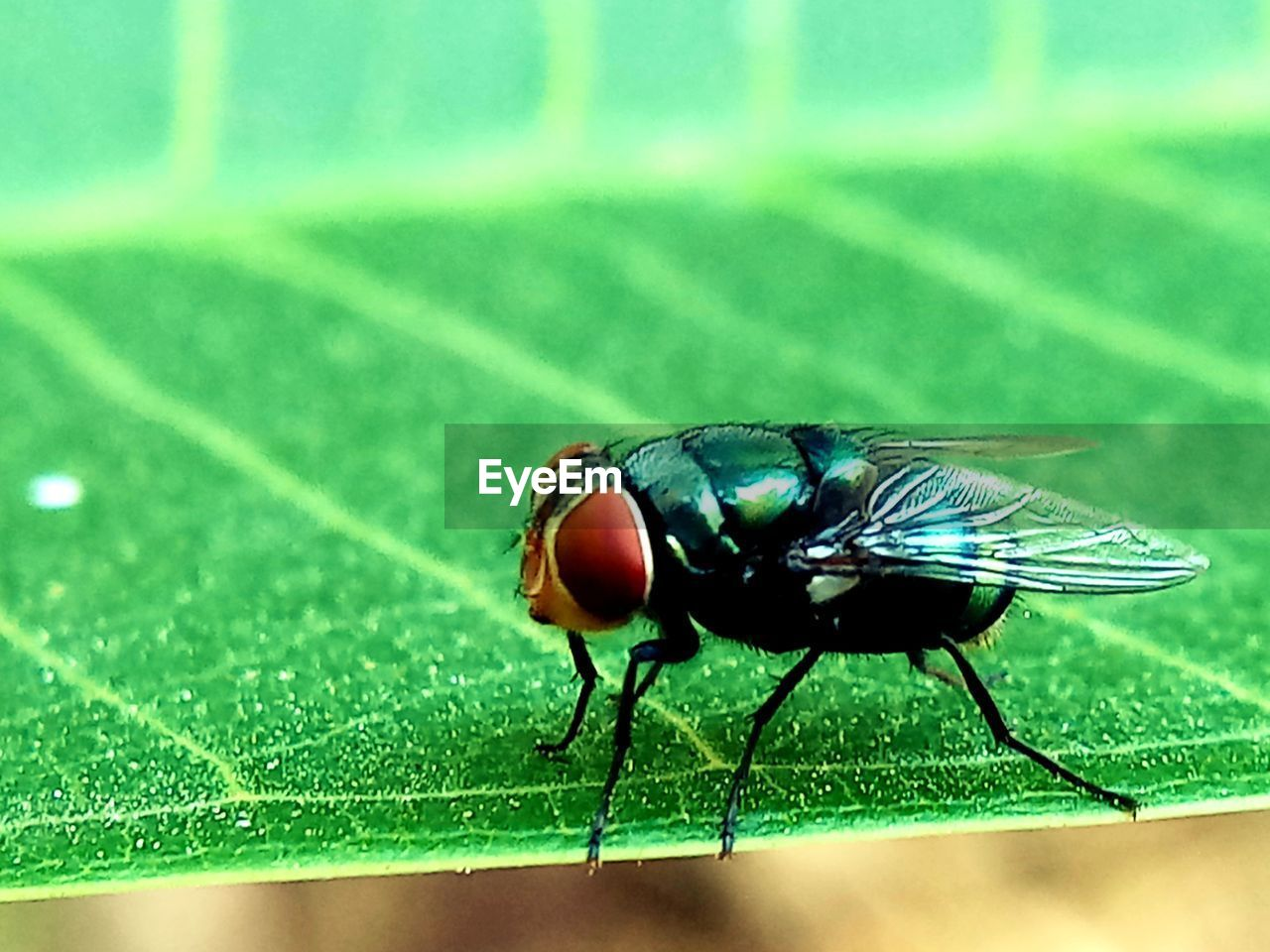insect, invertebrate, animal, animals in the wild, animal themes, animal wildlife, one animal, close-up, green color, leaf, plant part, fly, focus on foreground, nature, day, animal wing, no people, housefly, zoology, outdoors, animal eye