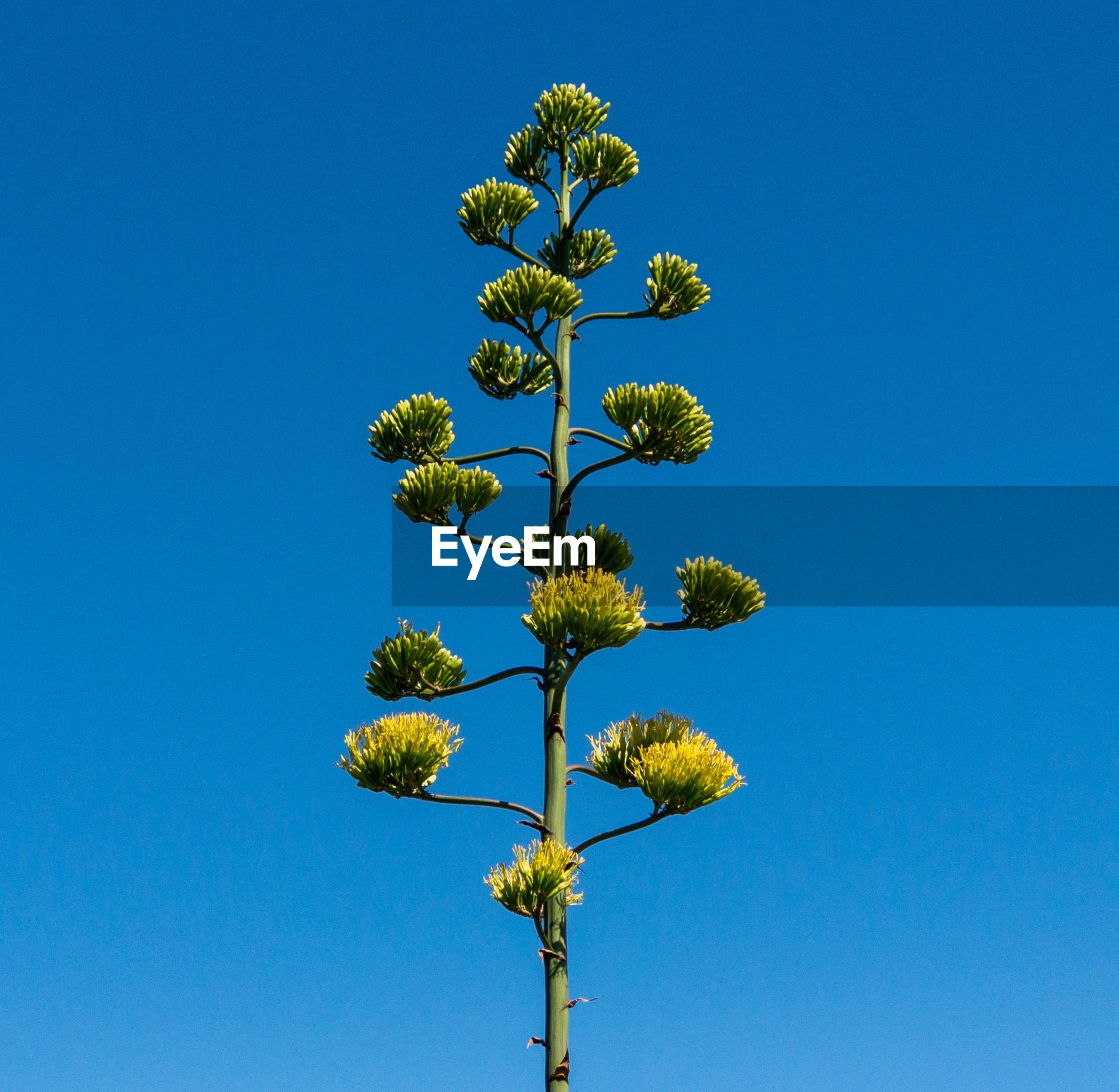 LOW ANGLE VIEW OF FLOWERING PLANTS AGAINST BLUE SKY