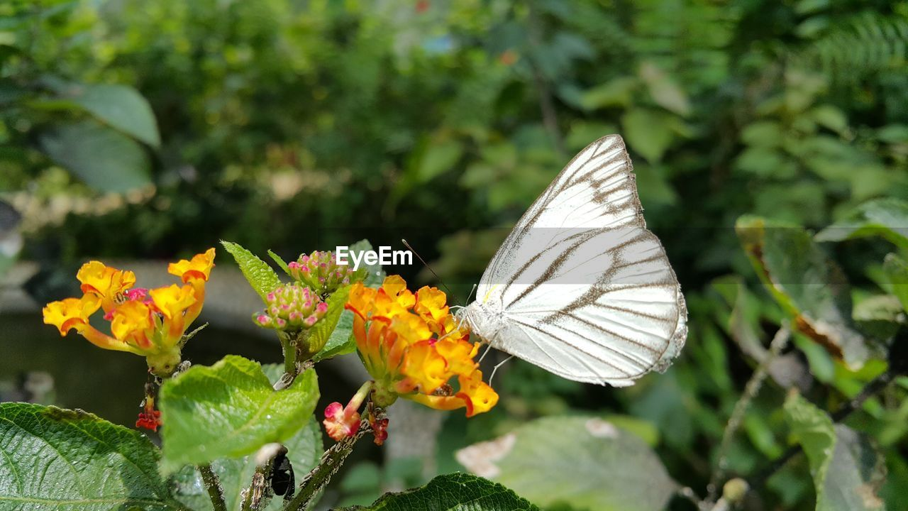 flower, insect, fragility, animals in the wild, one animal, nature, freshness, animal themes, growth, beauty in nature, plant, butterfly - insect, day, animal wildlife, outdoors, petal, no people, focus on foreground, flower head, close-up, pollination, leaf, lantana camara