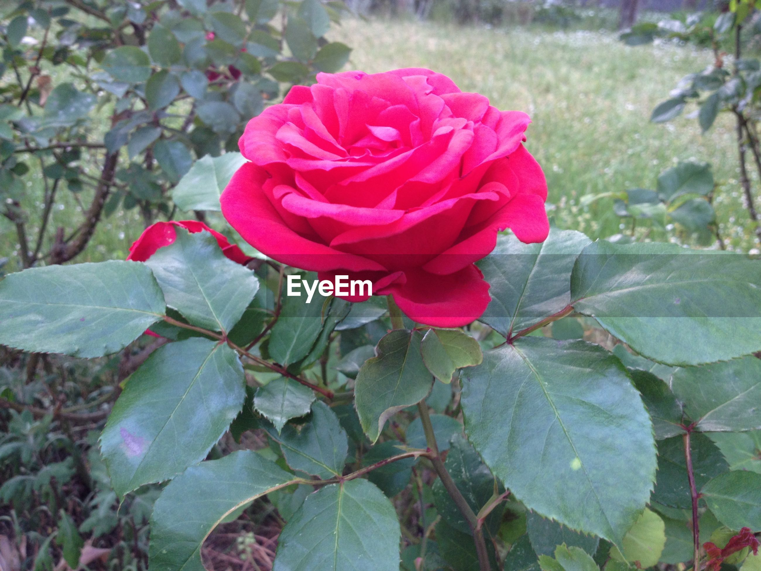 Close-up of pink rose flower blooming in park