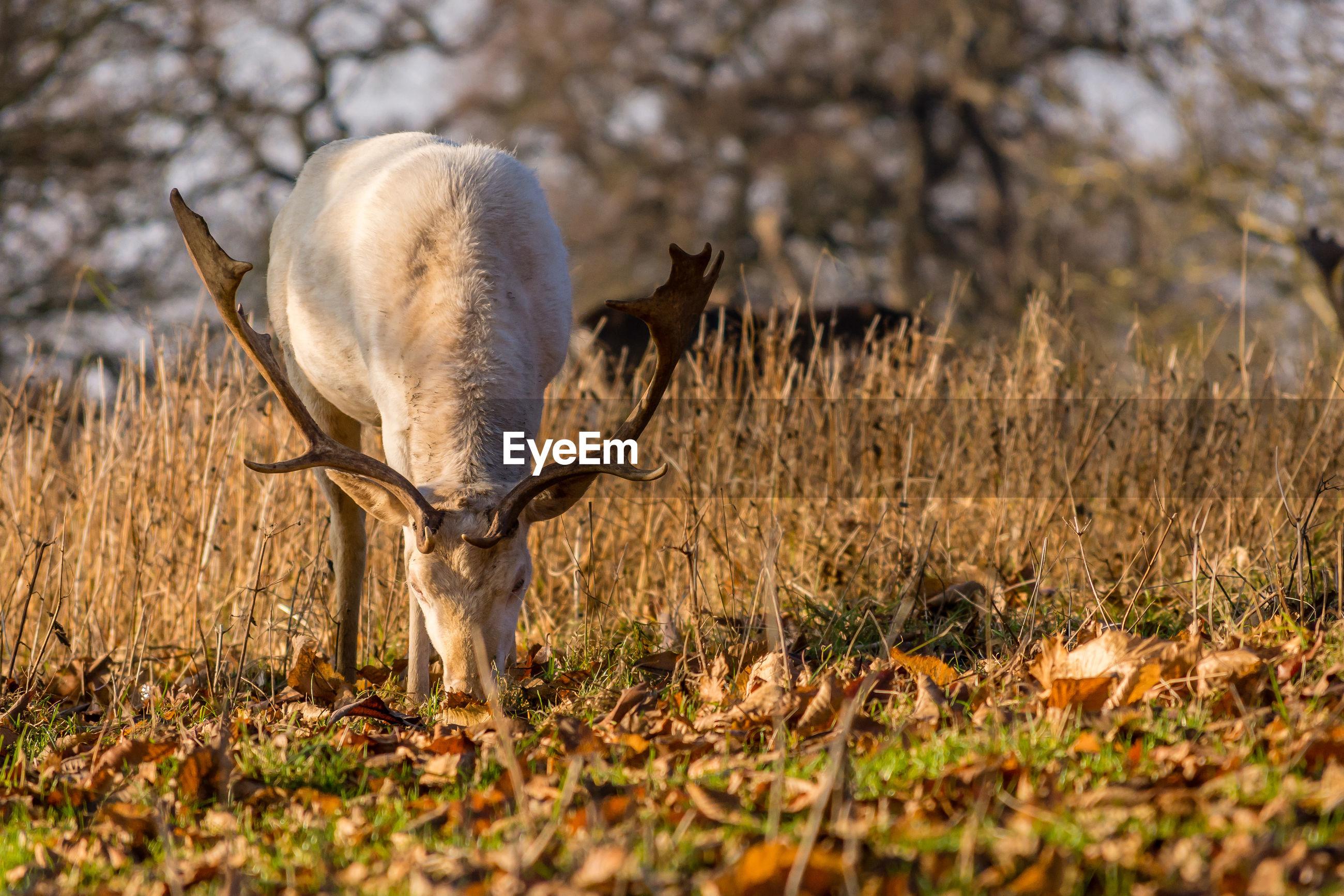 Deer grazing on field