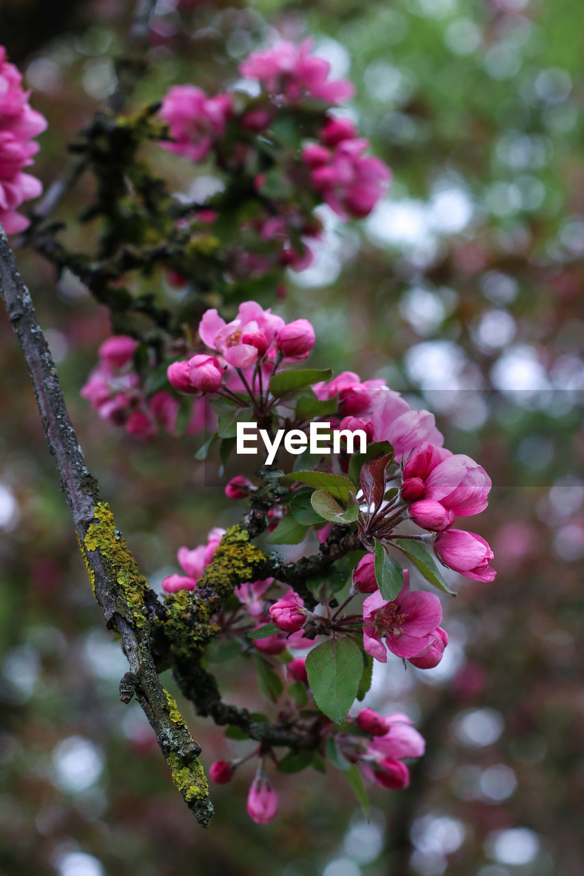 flowering plant, flower, plant, pink color, growth, freshness, vulnerability, fragility, beauty in nature, close-up, petal, day, focus on foreground, nature, tree, no people, flower head, inflorescence, blossom, branch, outdoors, springtime, spring, cherry tree, cherry blossom