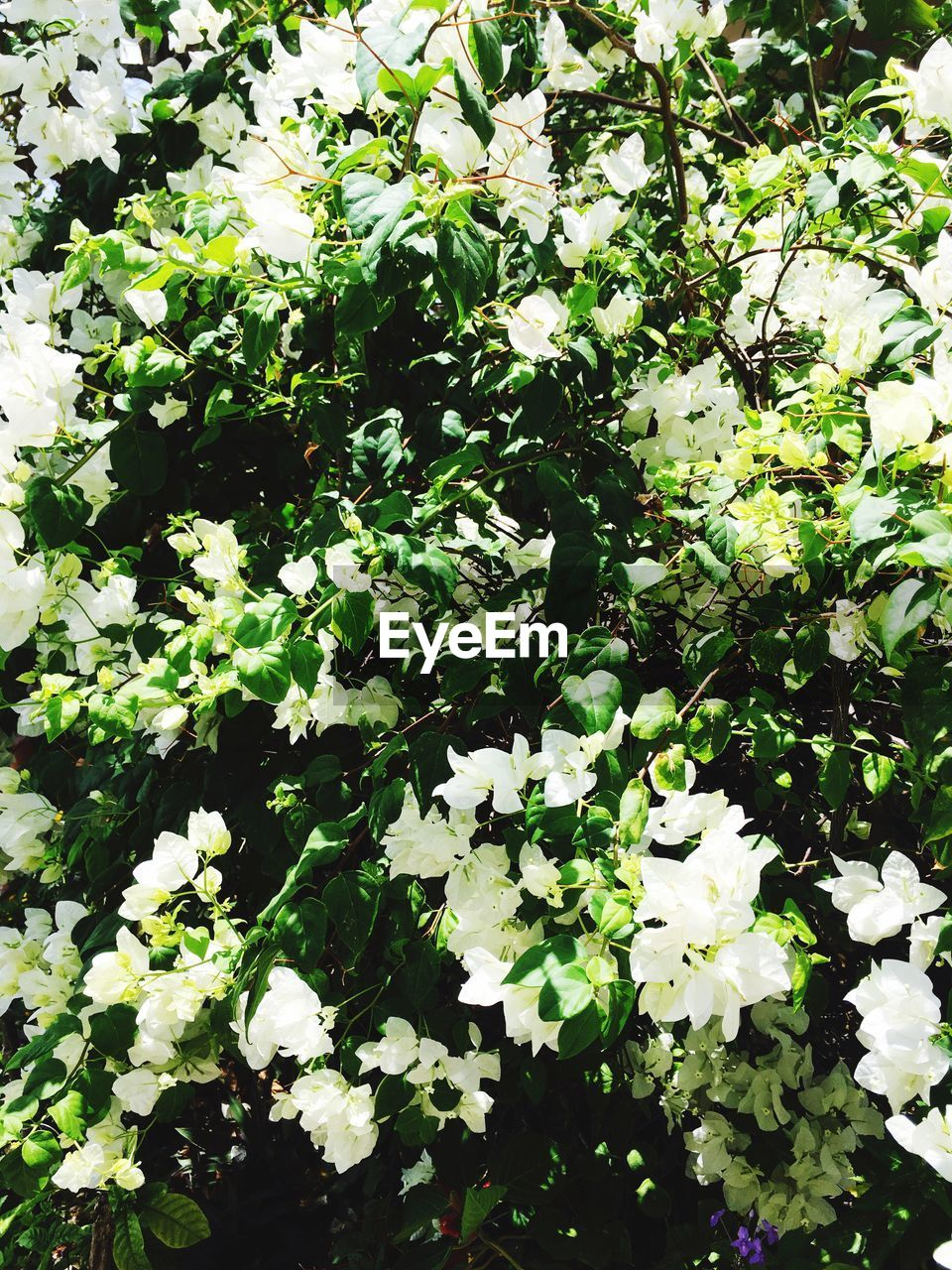 plant, flower, growth, flowering plant, beauty in nature, freshness, vulnerability, nature, plant part, fragility, leaf, no people, day, white color, green color, petal, outdoors, tranquility, close-up, full frame, flower head, springtime, spring, flowerbed