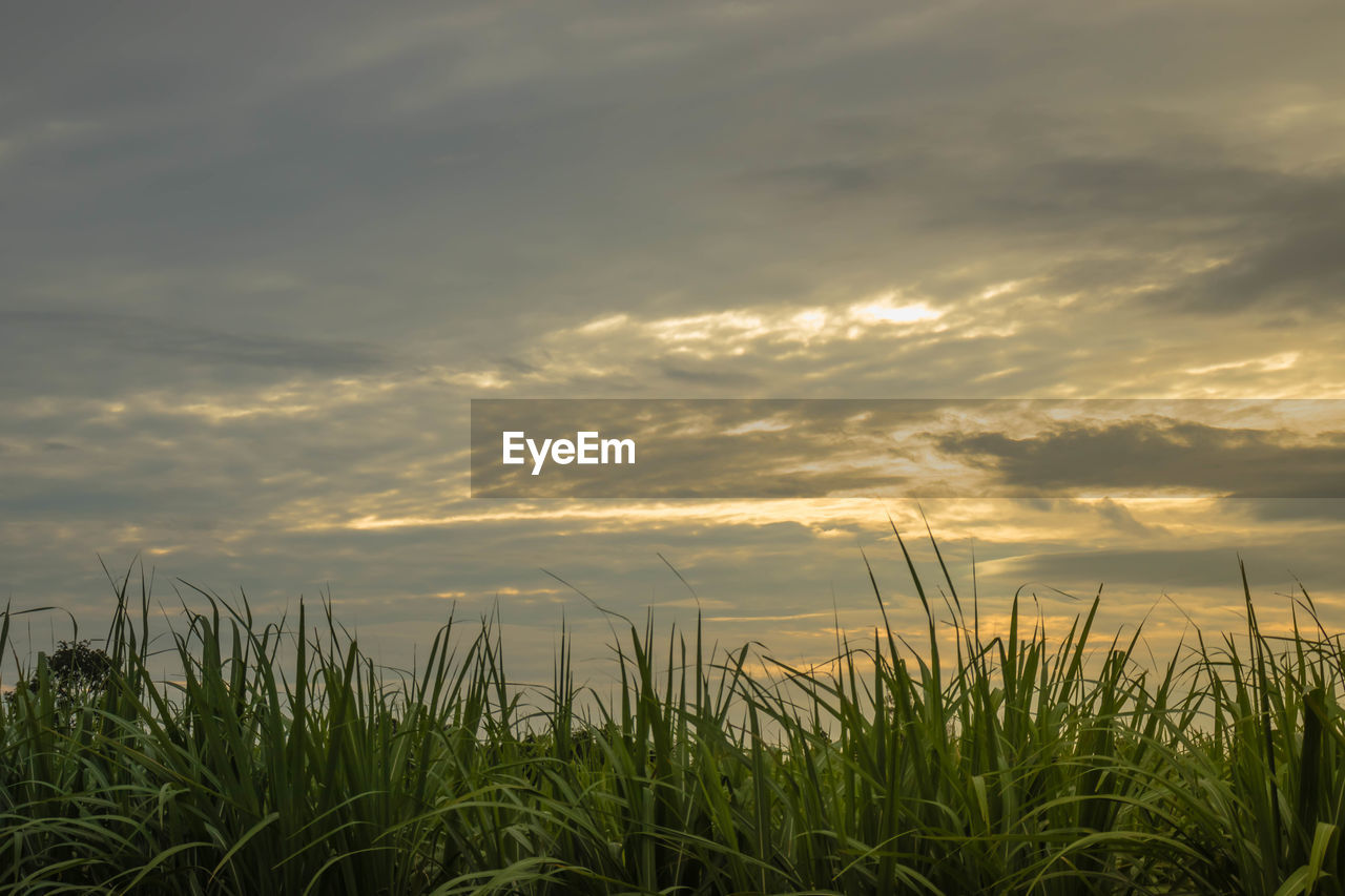cloud - sky, sky, growth, beauty in nature, plant, sunset, tranquility, field, nature, land, scenics - nature, agriculture, tranquil scene, rural scene, no people, crop, landscape, farm, grass, outdoors, timothy grass