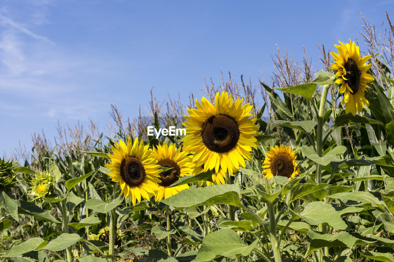 flower, yellow, growth, plant, sunflower, fragility, nature, petal, flower head, freshness, blooming, leaf, field, no people, day, beauty in nature, outdoors, close-up, sky, black-eyed susan