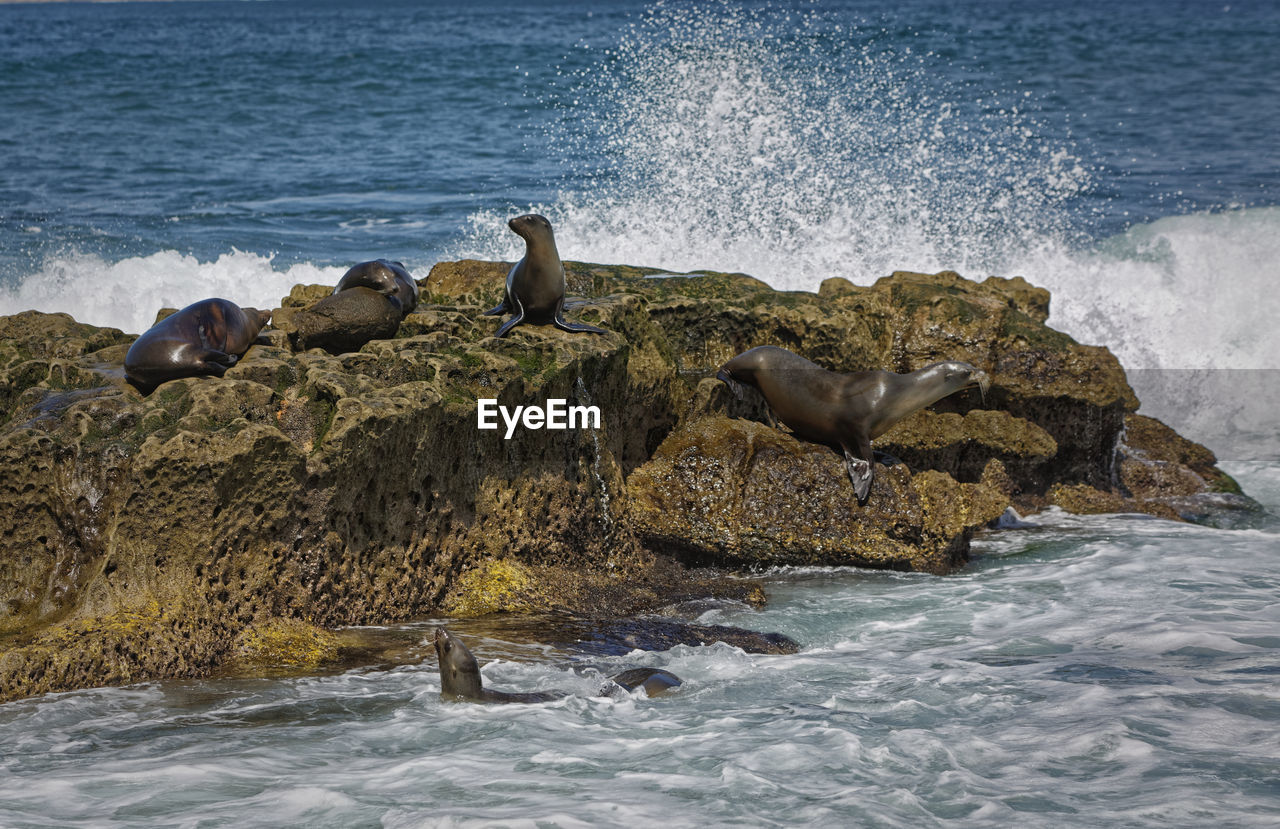 water, sea, rock, group of animals, animal wildlife, solid, animals in the wild, rock - object, animal themes, animal, beach, motion, nature, bird, vertebrate, wave, land, day, beauty in nature, no people, outdoors, seagull, seal - animal, power in nature, breaking