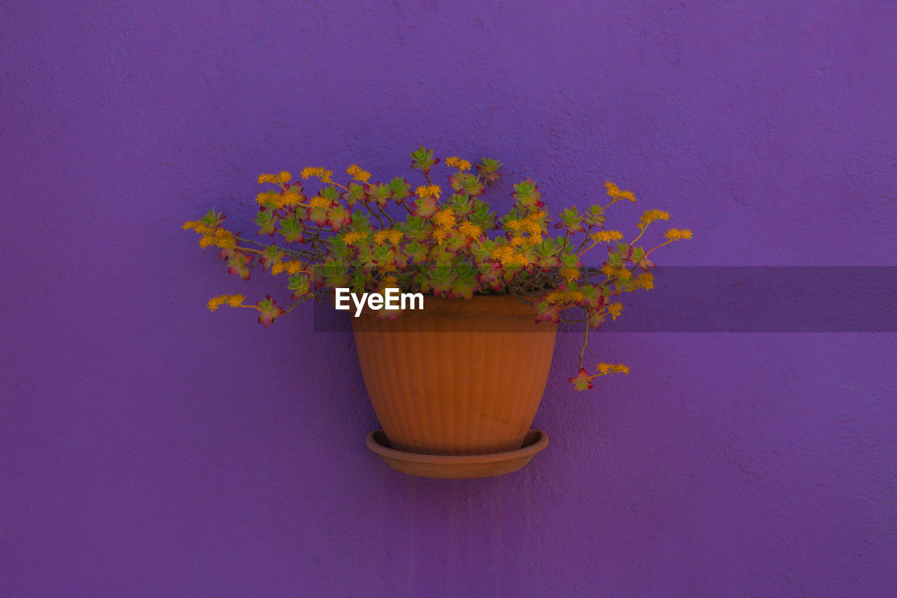flowering plant, plant, flower, wall - building feature, yellow, indoors, fragility, nature, vulnerability, freshness, no people, close-up, growth, potted plant, beauty in nature, purple, colored background, petal, flower head, flower pot