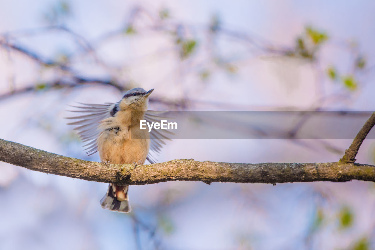 vertebrate, animal themes, bird, animal, perching, one animal, animal wildlife, branch, animals in the wild, tree, plant, low angle view, no people, focus on foreground, nature, day, outdoors, songbird, beauty in nature, close-up