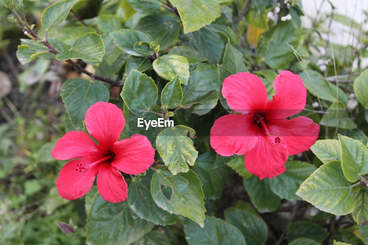 flower, growth, petal, flower head, fragility, plant, beauty in nature, blooming, freshness, nature, day, green color, leaf, outdoors, periwinkle, no people, close-up, petunia