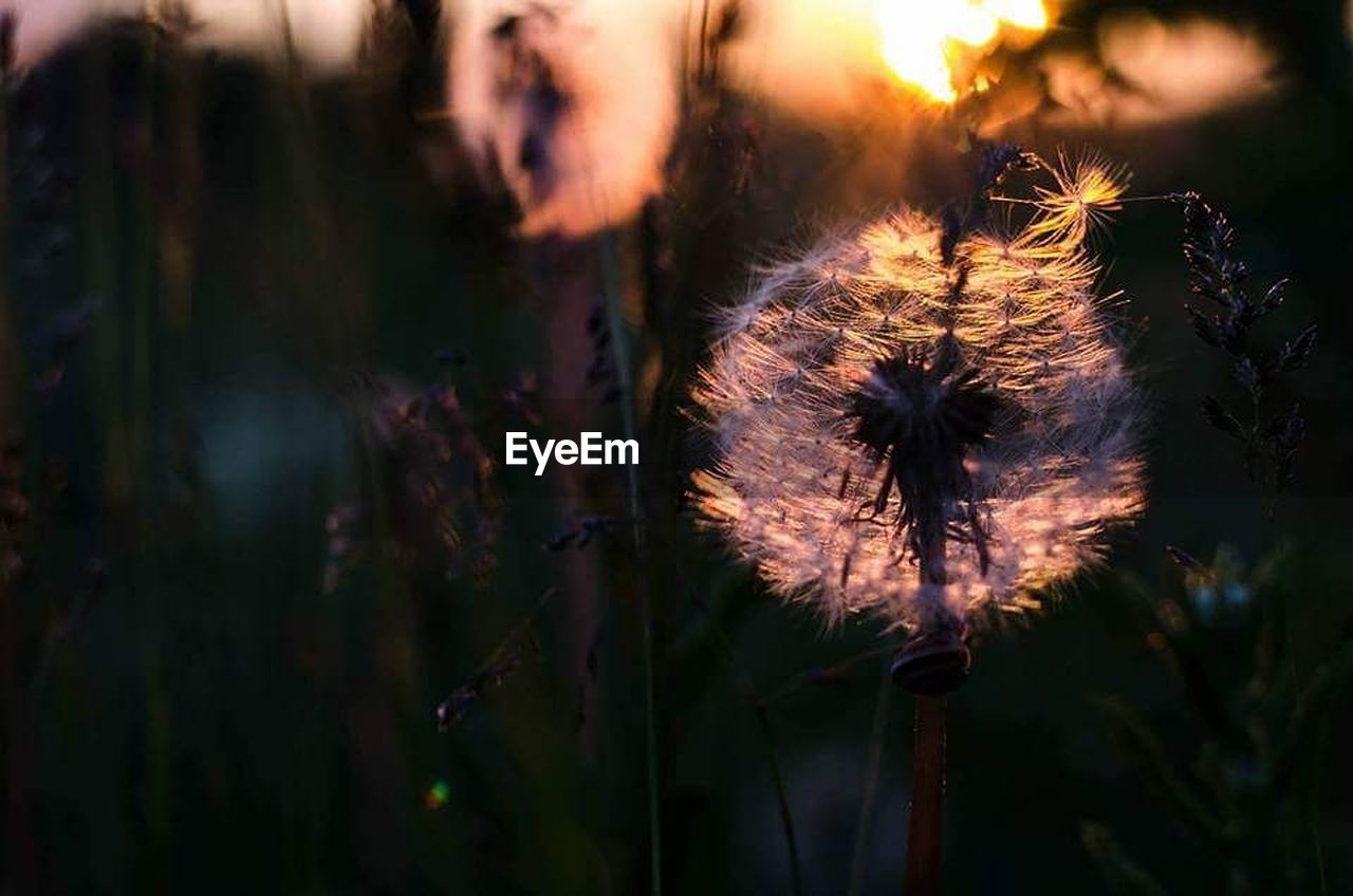 CLOSE-UP OF DANDELION FLOWER AT NIGHT