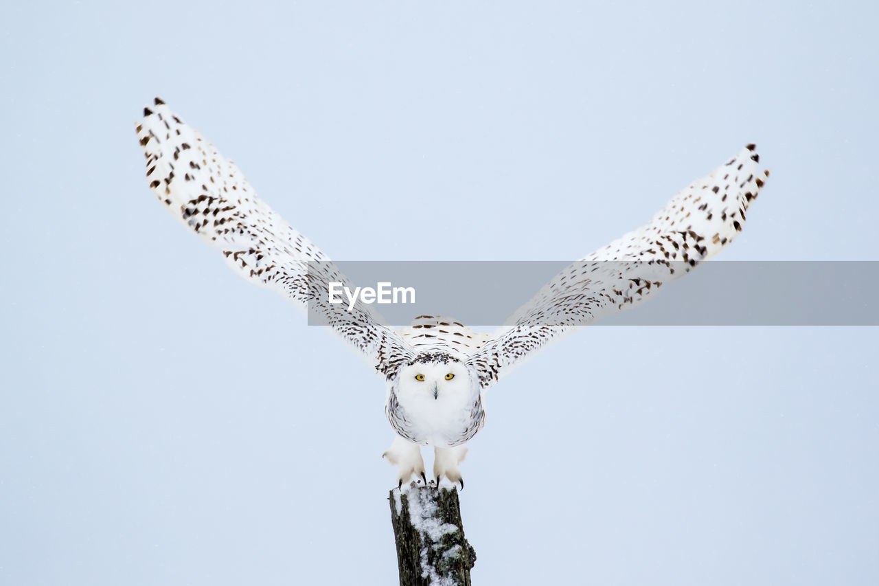 animals in the wild, animal wildlife, animal, animal themes, sky, bird, vertebrate, low angle view, flying, one animal, spread wings, day, bird of prey, nature, no people, clear sky, copy space, outdoors, motion, mid-air, falcon - bird