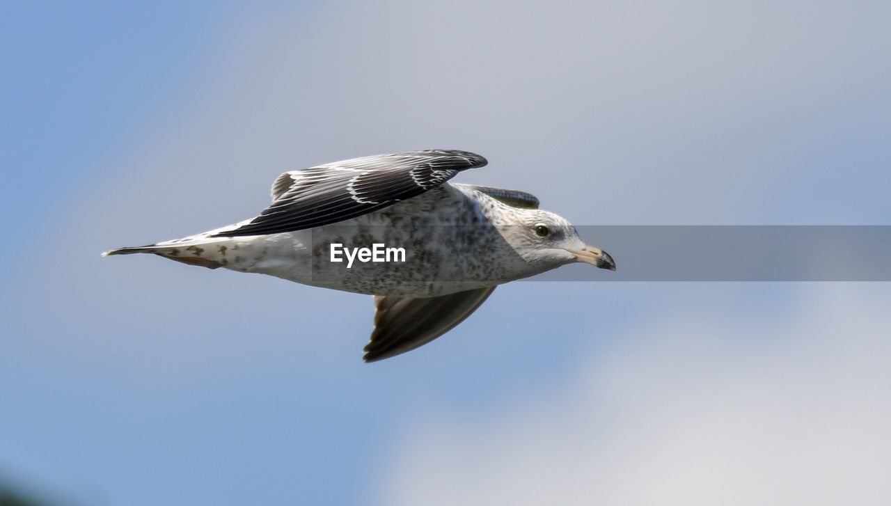bird, animals in the wild, vertebrate, animal wildlife, animal, animal themes, flying, one animal, sky, spread wings, low angle view, mid-air, day, no people, clear sky, nature, copy space, outdoors, focus on foreground, sunlight, seagull