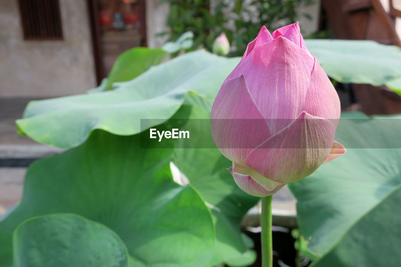flower, petal, beauty in nature, fragility, nature, pink color, freshness, day, growth, leaf, flower head, close-up, no people, plant, green color, outdoors, focus on foreground, blooming, lotus water lily
