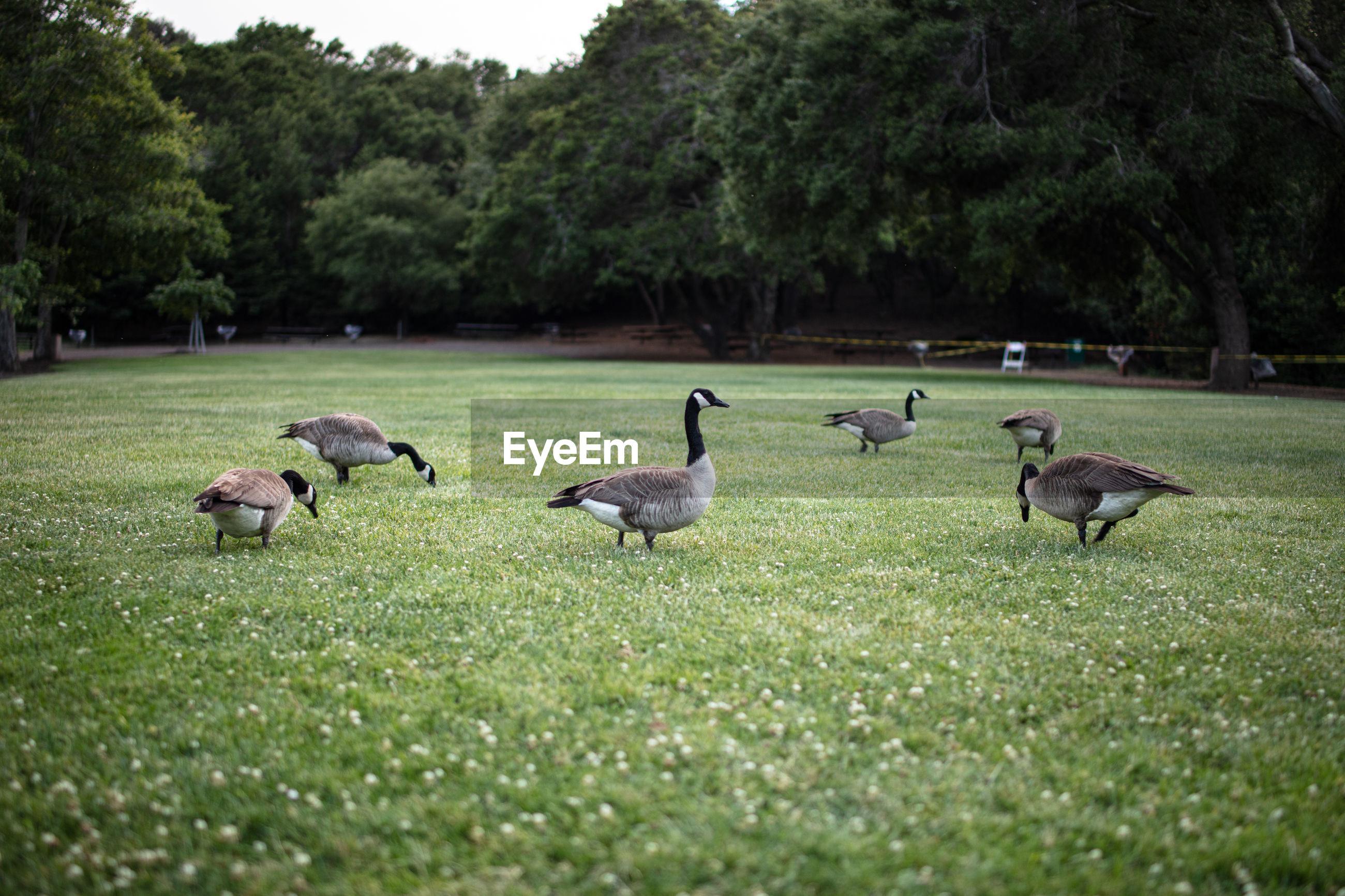FLOCK OF BIRDS ON FIELD