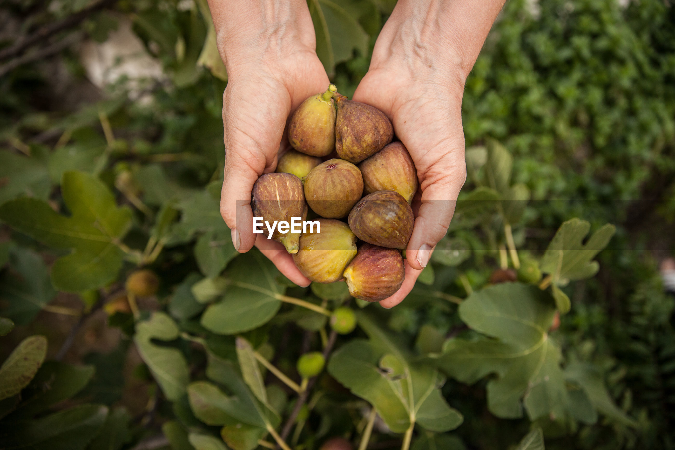Close-up of hands holding figs
