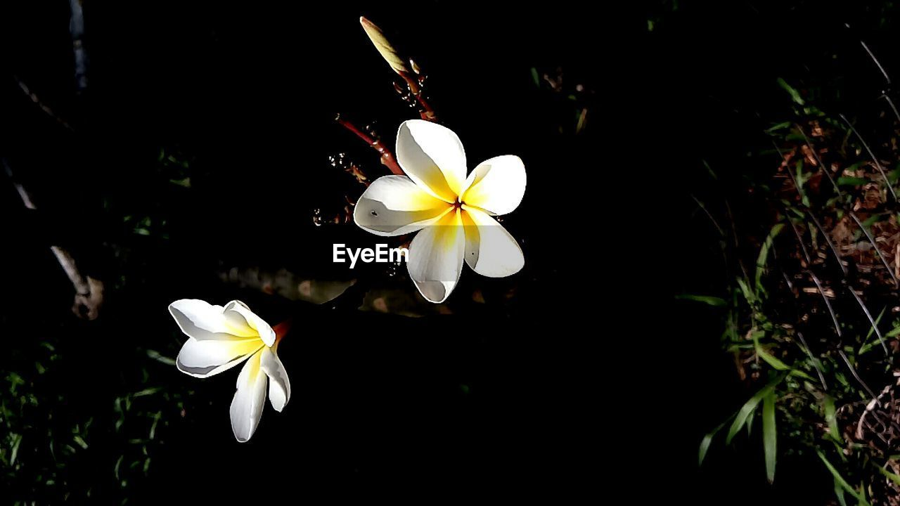 flower, petal, white color, flower head, fragility, beauty in nature, freshness, growth, nature, frangipani, blooming, blossom, springtime, pollen, stamen, no people, day, periwinkle, close-up, outdoors