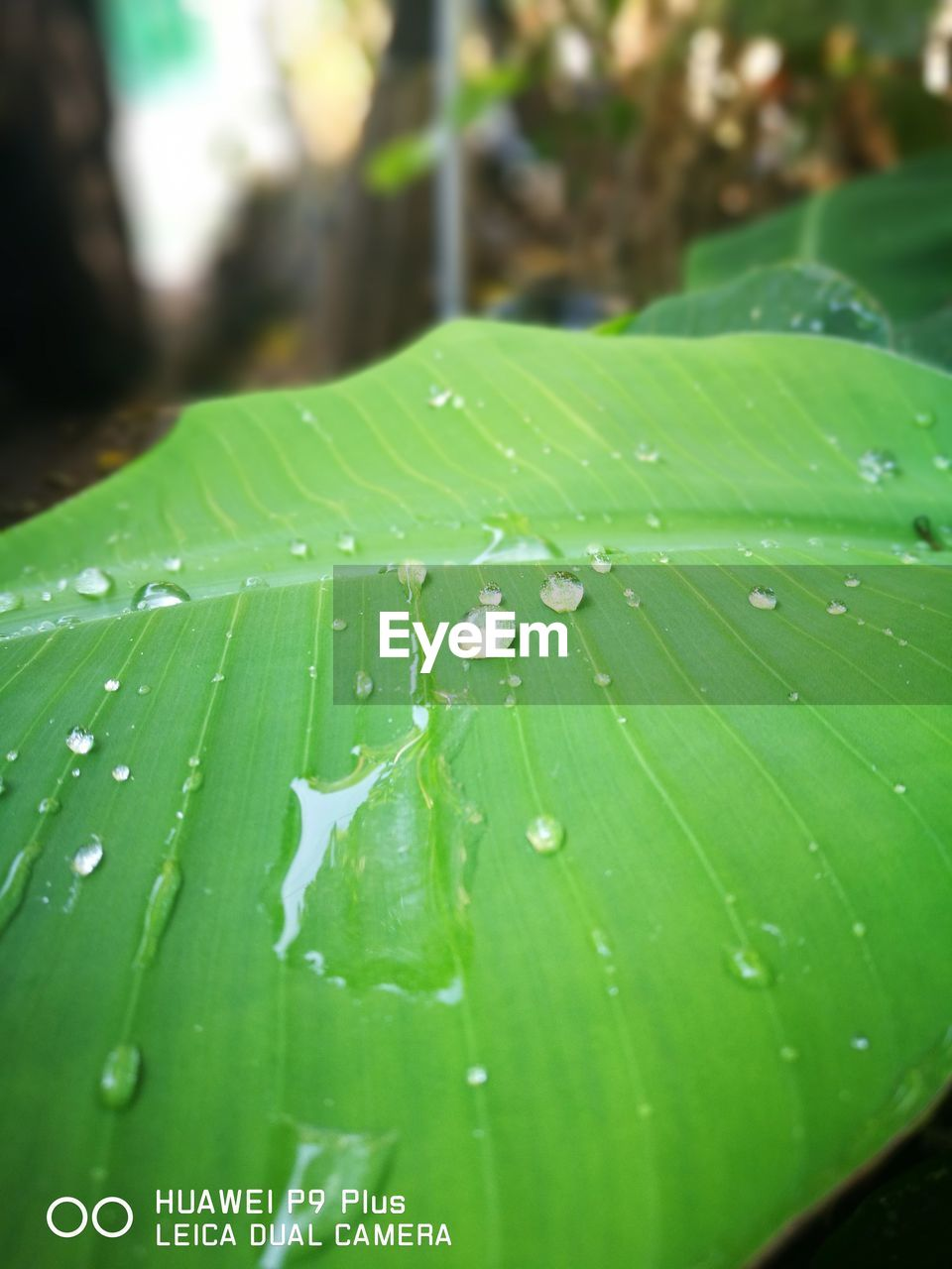 green color, leaf, drop, close-up, nature, water, no people, growth, fragility, freshness, day, outdoors, plant, banana leaf, beauty in nature