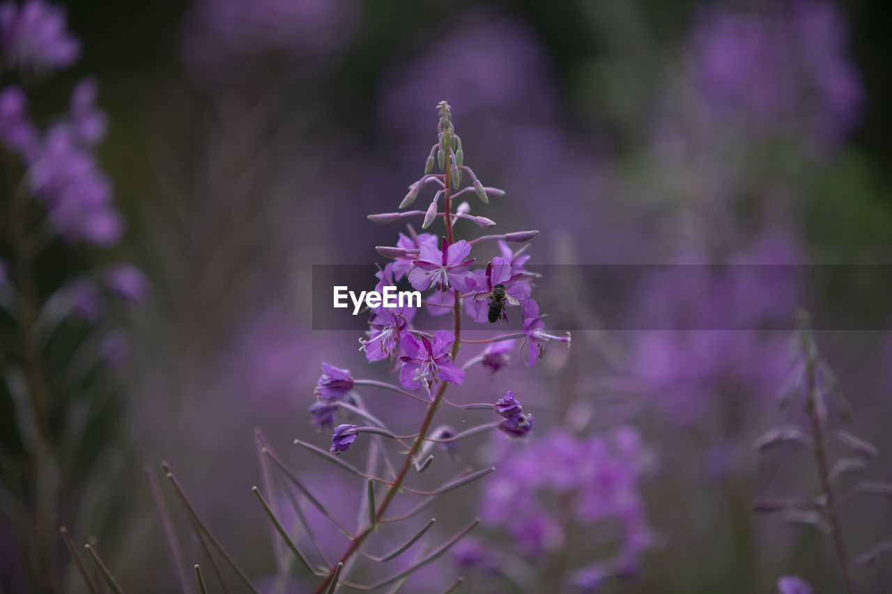 flowering plant, flower, purple, plant, vulnerability, fragility, freshness, beauty in nature, growth, close-up, petal, nature, lavender, selective focus, no people, flower head, day, inflorescence, focus on foreground, lavender colored, outdoors, springtime, pollination