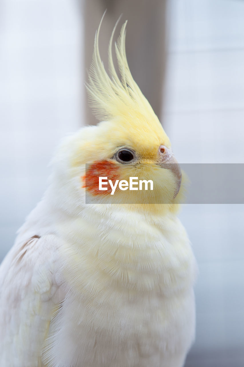 bird, one animal, animal themes, close-up, white color, focus on foreground, domestic animals, no people, beak, animal wildlife, day, animals in the wild, nature, outdoors, mammal