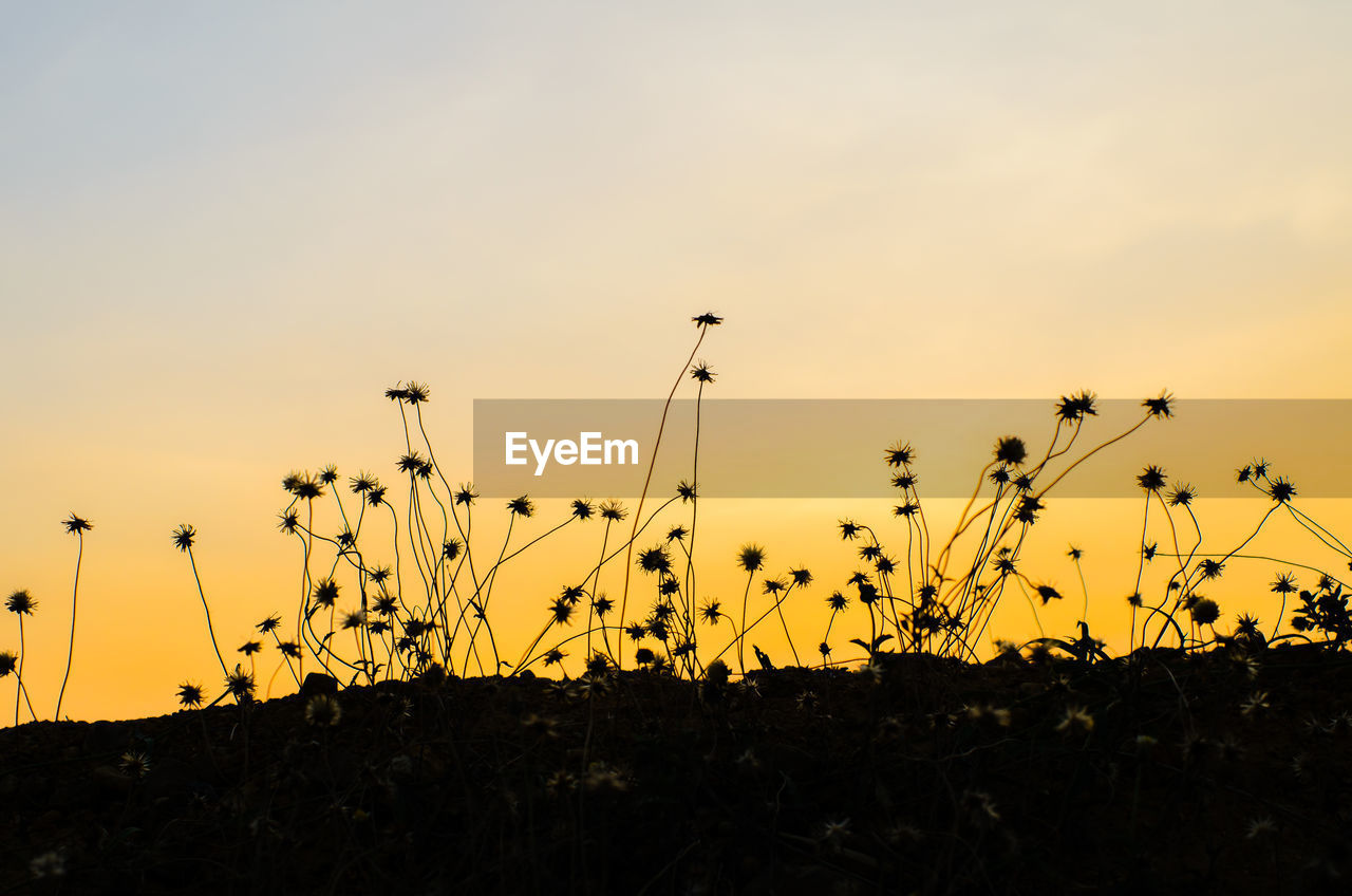 sunset, nature, growth, plant, silhouette, beauty in nature, field, tranquil scene, tranquility, sky, no people, outdoors, scenics, grass, flower, close-up, day