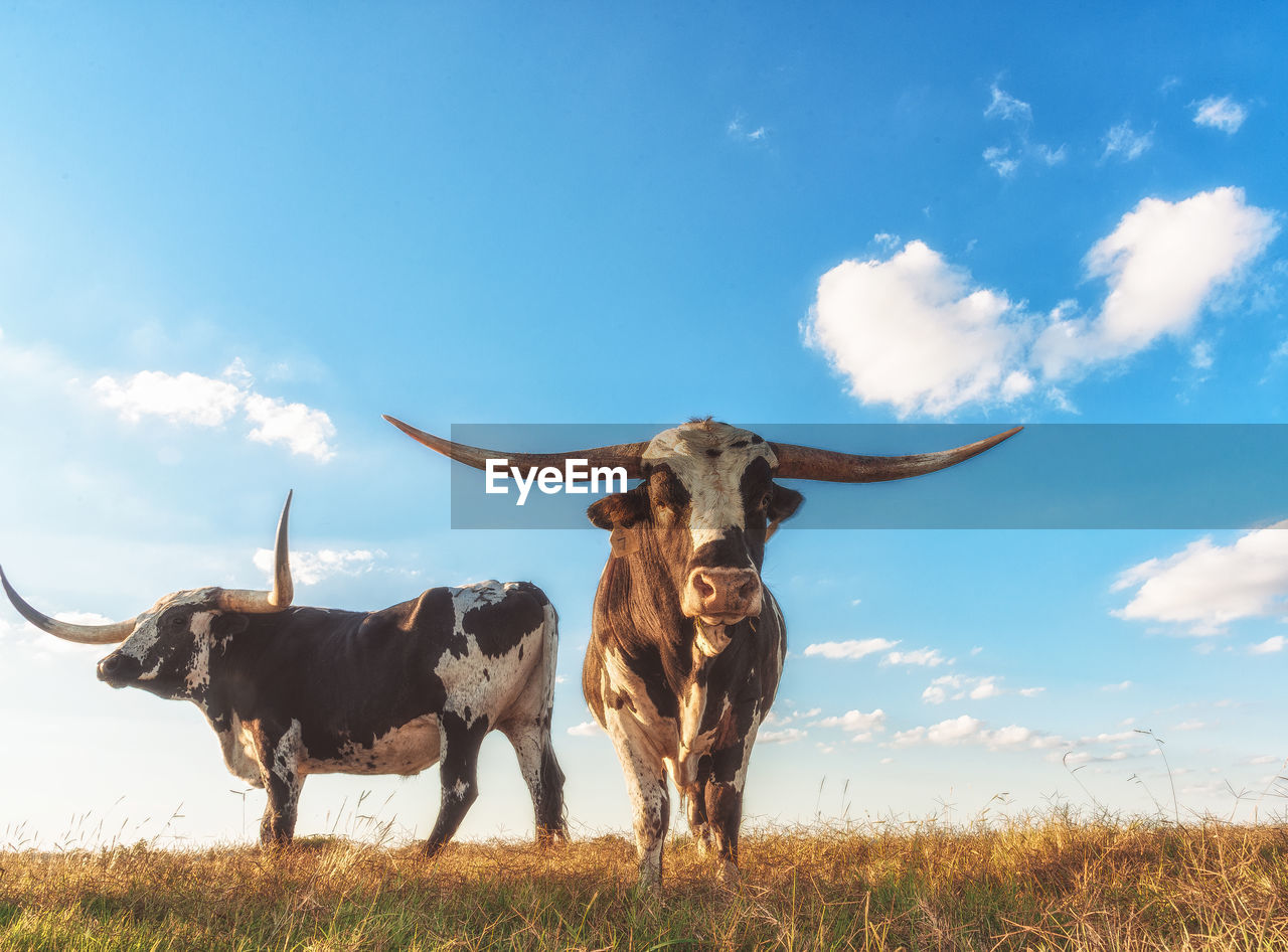 Low angle view of texas longhorn cattle standing on field against sky
