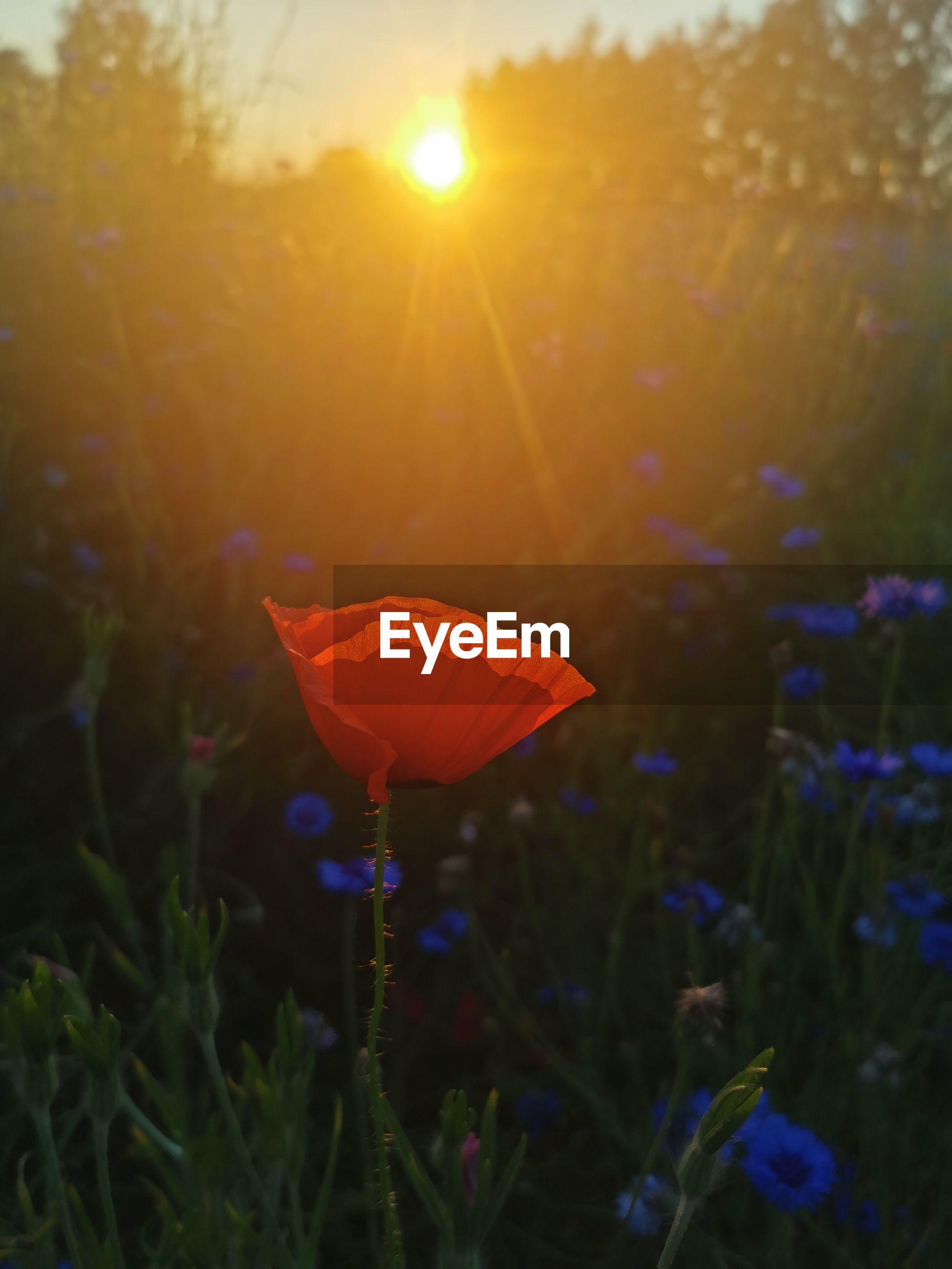RED FLOWER ON FIELD