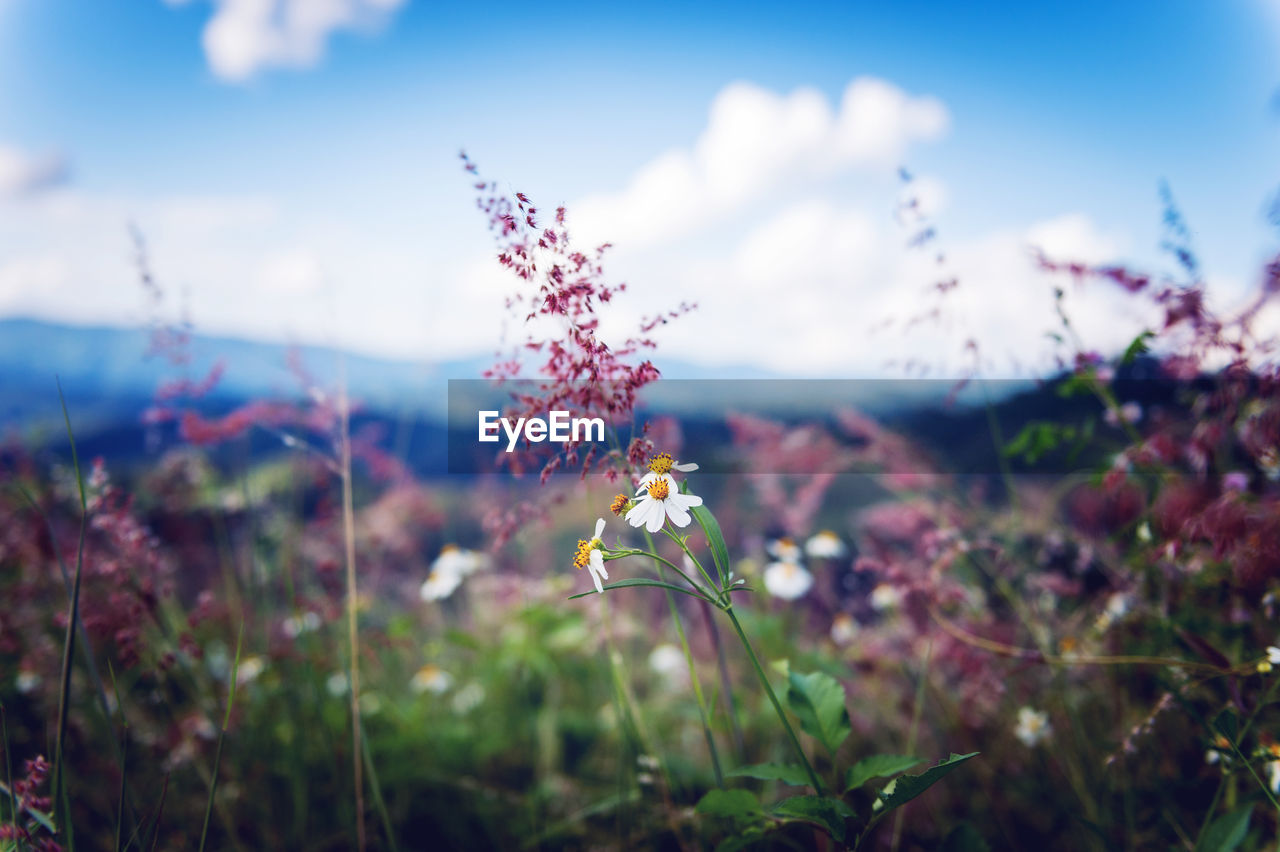 flower, nature, beauty in nature, plant, fragility, growth, outdoors, no people, petal, focus on foreground, day, field, freshness, close-up, flower head, sky, blooming, animal themes, grass