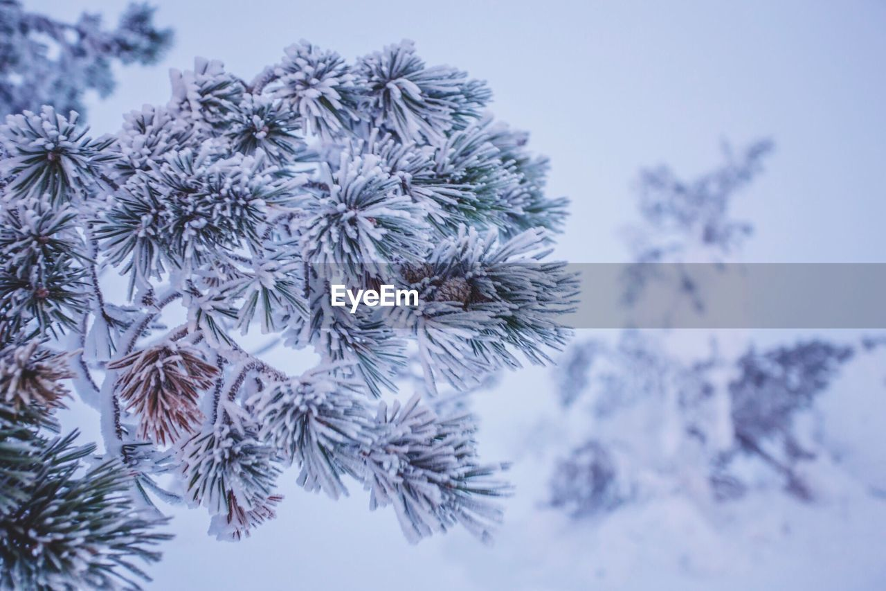 winter, nature, cold temperature, snow, beauty in nature, plant, focus on foreground, outdoors, no people, close-up, fragility, day, growth, tranquility, tree, flower, snowflake, sky, freshness, flower head