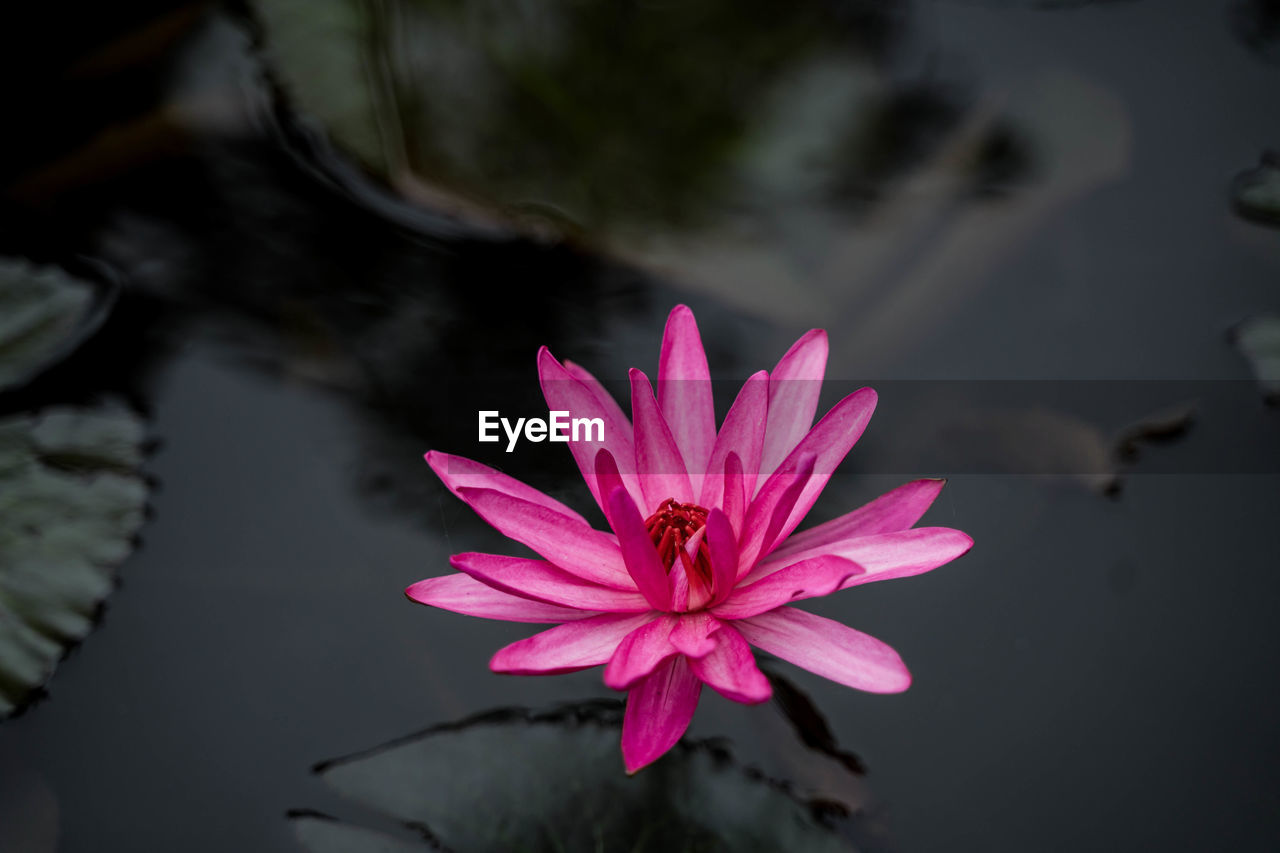 flower, flowering plant, vulnerability, petal, fragility, beauty in nature, freshness, pink color, plant, flower head, inflorescence, growth, close-up, water lily, water, lake, nature, pollen, no people, lotus water lily, floating on water, outdoors, purple