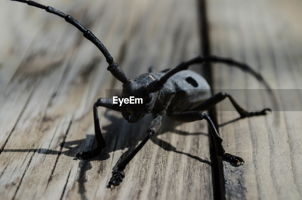invertebrate, insect, wood - material, one animal, animal themes, close-up, animal, no people, animal wildlife, selective focus, animals in the wild, black color, day, shadow, beetle, high angle view, table, animal body part, sunlight, wood