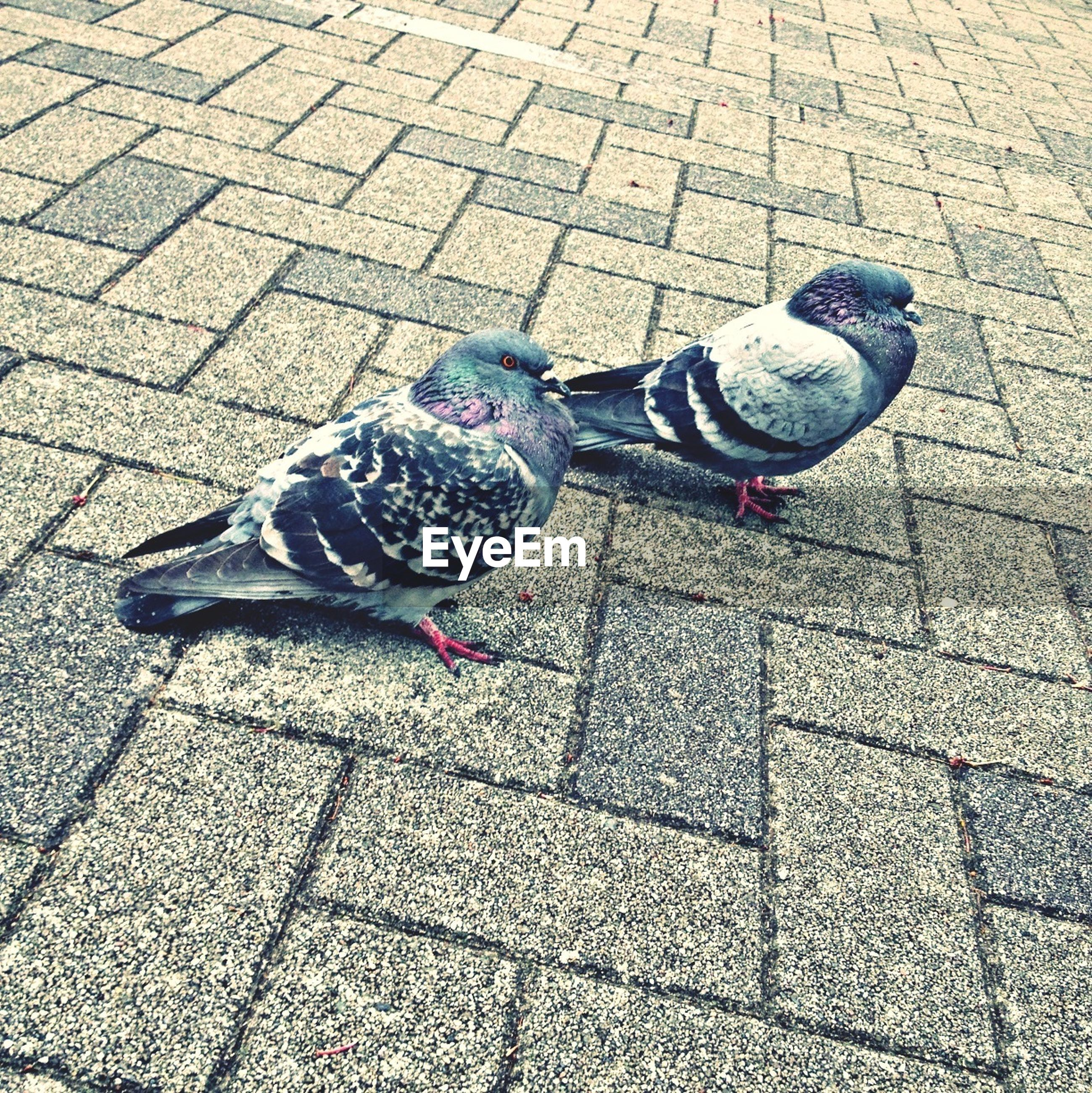 animal themes, bird, animals in the wild, one animal, pigeon, wildlife, street, high angle view, cobblestone, full length, paving stone, sidewalk, perching, outdoors, footpath, day, two animals, pavement, no people, peacock