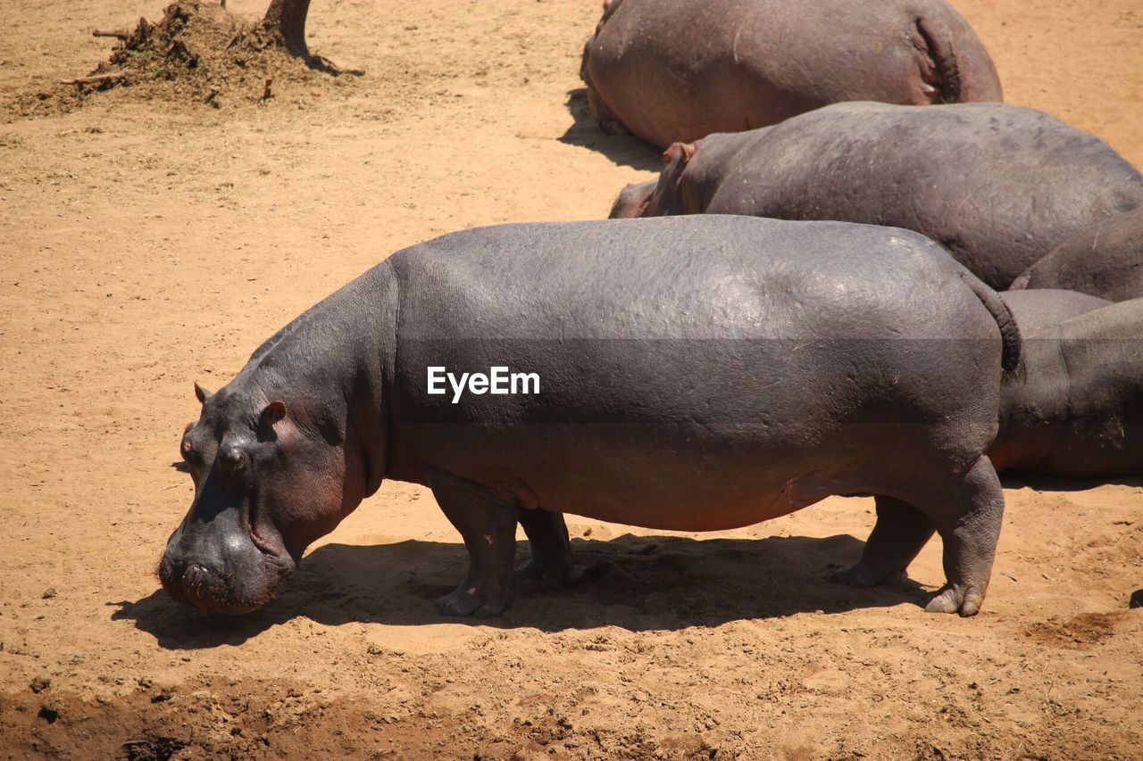 EyeEm Selects Animal Animal Themes Mammal Animals In The Wild Animal Wildlife Vertebrate Nature Outdoors Hippopotamus Sunlight Land Group Of Animals Full Length Herbivorous No People Togetherness Day Sand Field Side View