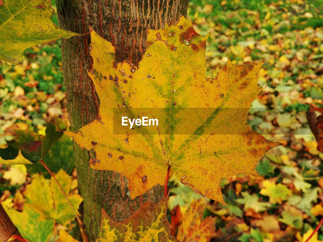 leaf, autumn, change, nature, day, focus on foreground, yellow, growth, outdoors, close-up, no people, beauty in nature, maple leaf, maple, plant, fragility, tree