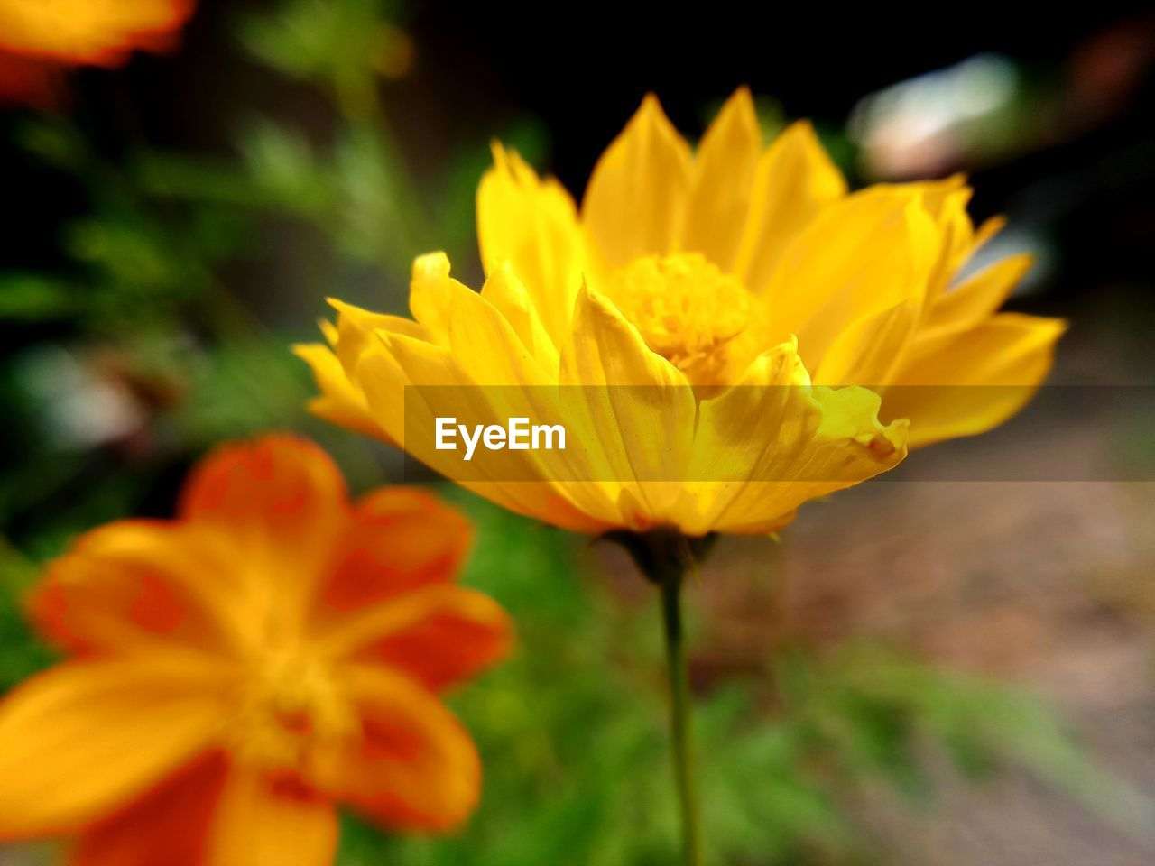 flower, petal, fragility, flower head, beauty in nature, nature, yellow, growth, freshness, blooming, plant, outdoors, close-up, day, no people
