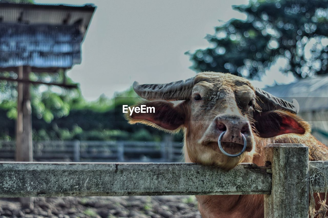 animal themes, one animal, animal, mammal, livestock, focus on foreground, boundary, barrier, fence, vertebrate, no people, day, domestic animals, animal body part, animal head, animal wildlife, domestic, nature, looking at camera, pets, outdoors, herbivorous, wooden post