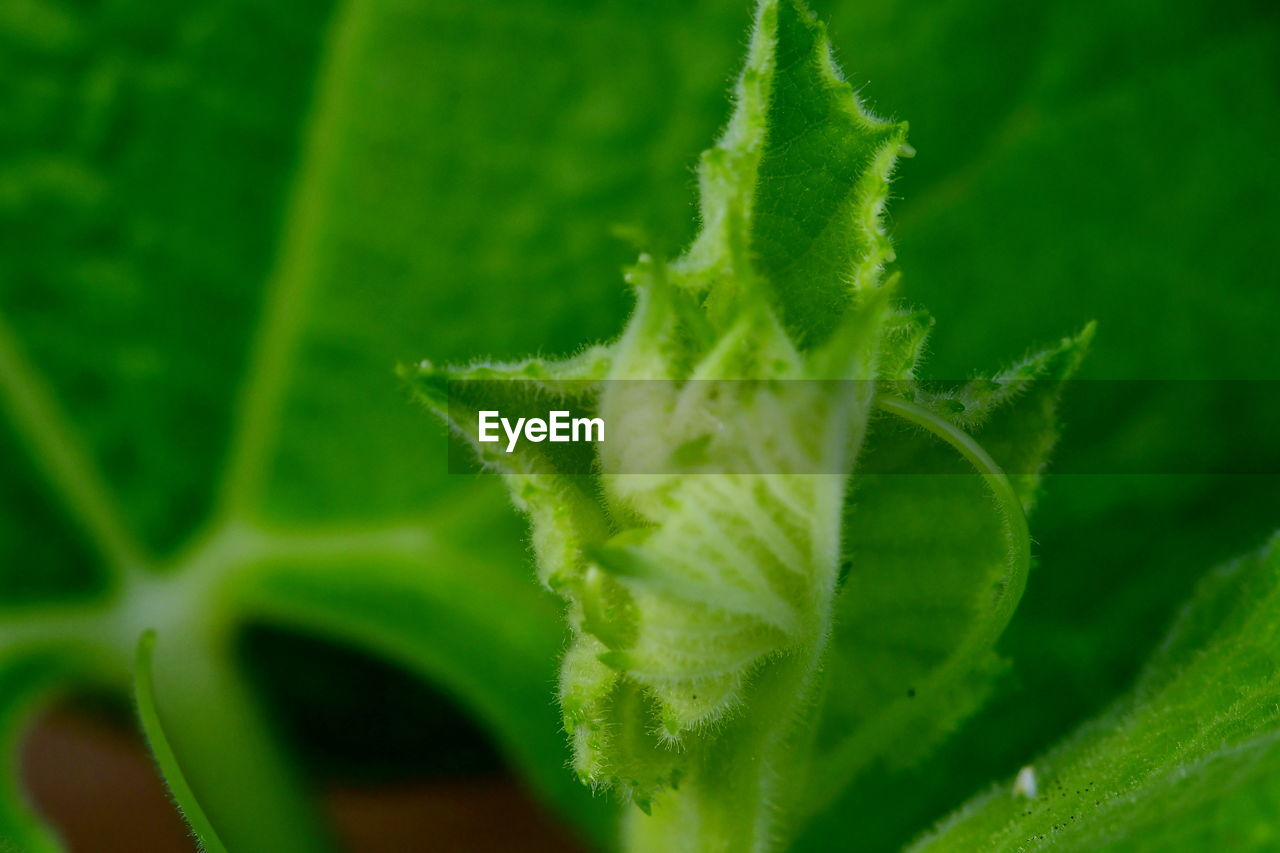 green color, plant part, leaf, growth, plant, close-up, beauty in nature, nature, selective focus, no people, leaf vein, day, freshness, outdoors, focus on foreground, natural pattern, fragility, food, food and drink, vulnerability