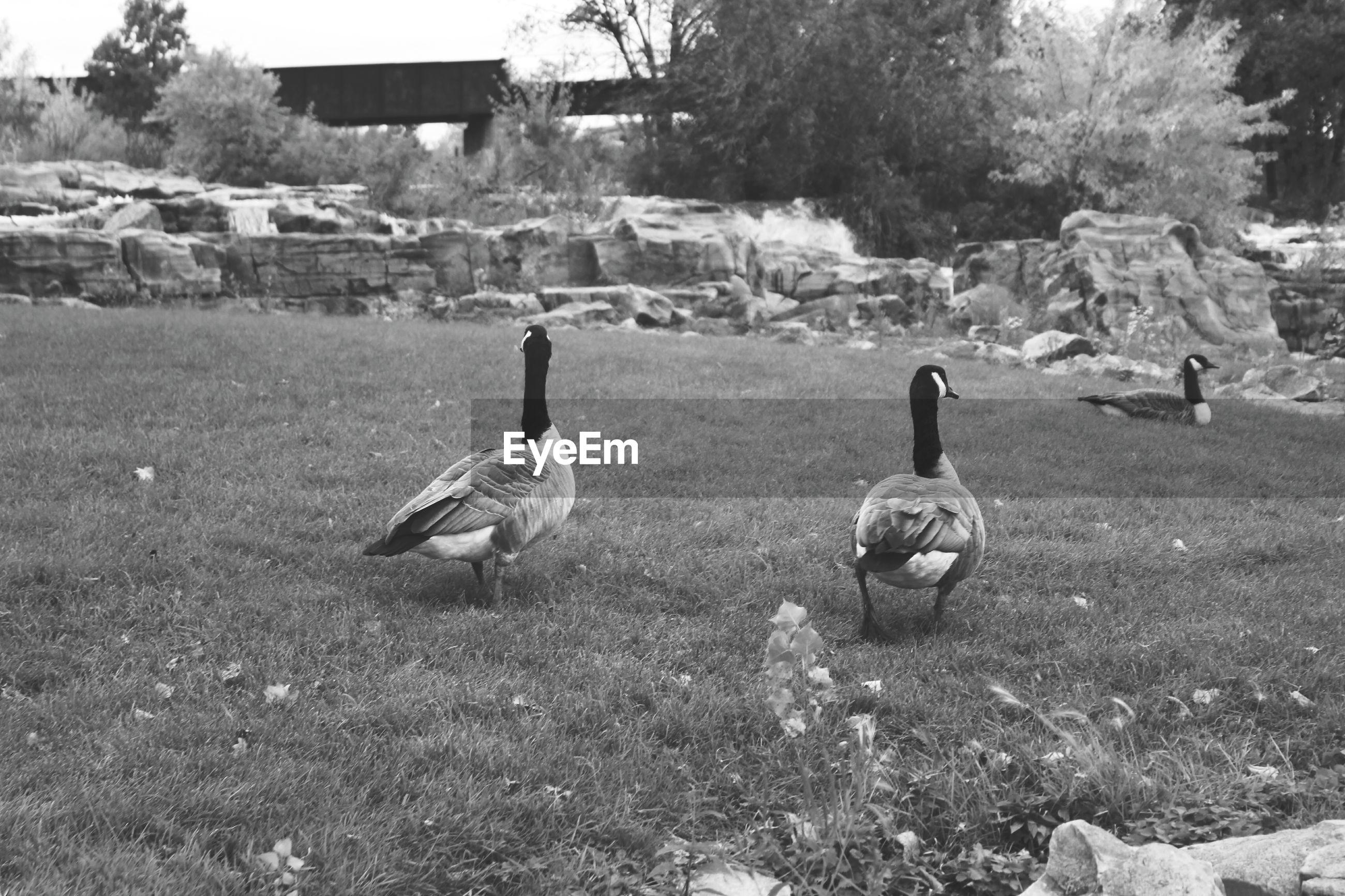 VIEW OF BIRDS IN FIELD